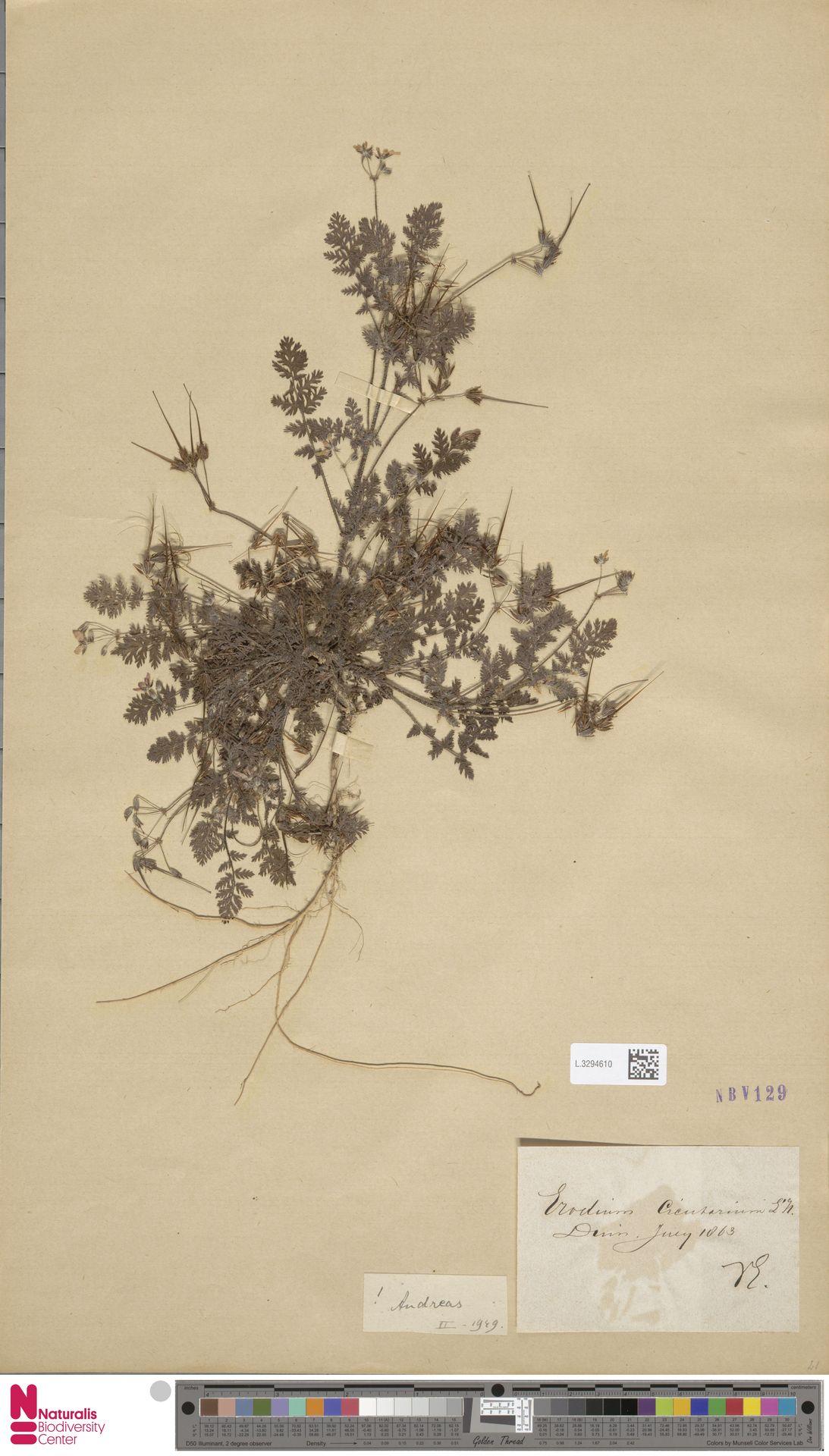 L.3294610 | Erodium cicutarium (L.) L'Hér.