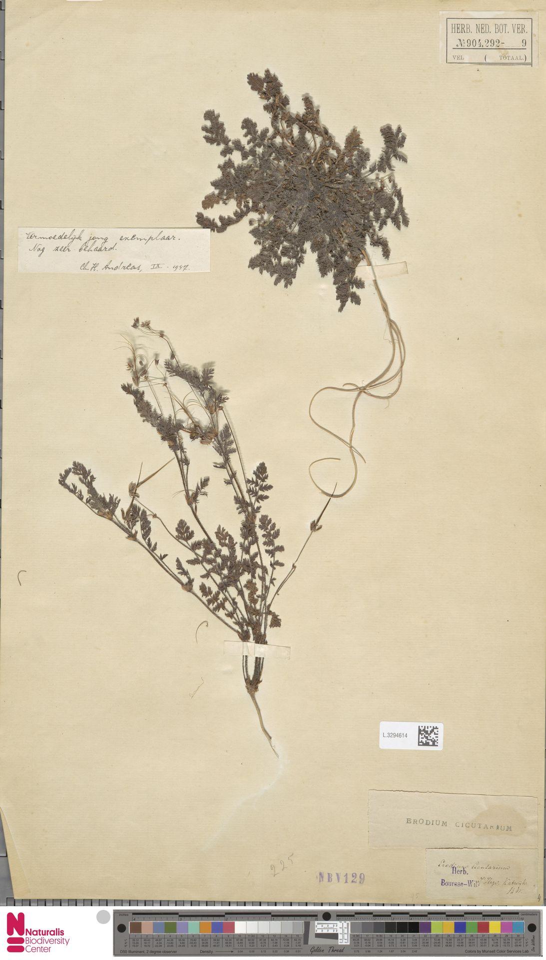 L.3294614 | Erodium cicutarium (L.) L'Hér.