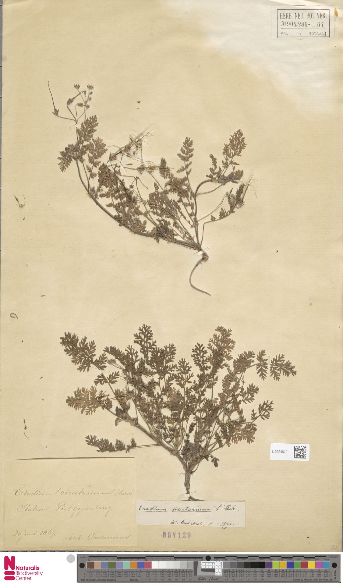 L.3294619 | Erodium cicutarium (L.) L'Hér.
