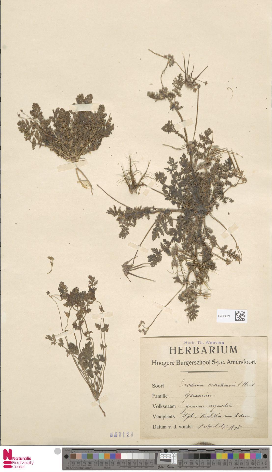 L.3294621 | Erodium cicutarium (L.) L'Hér.
