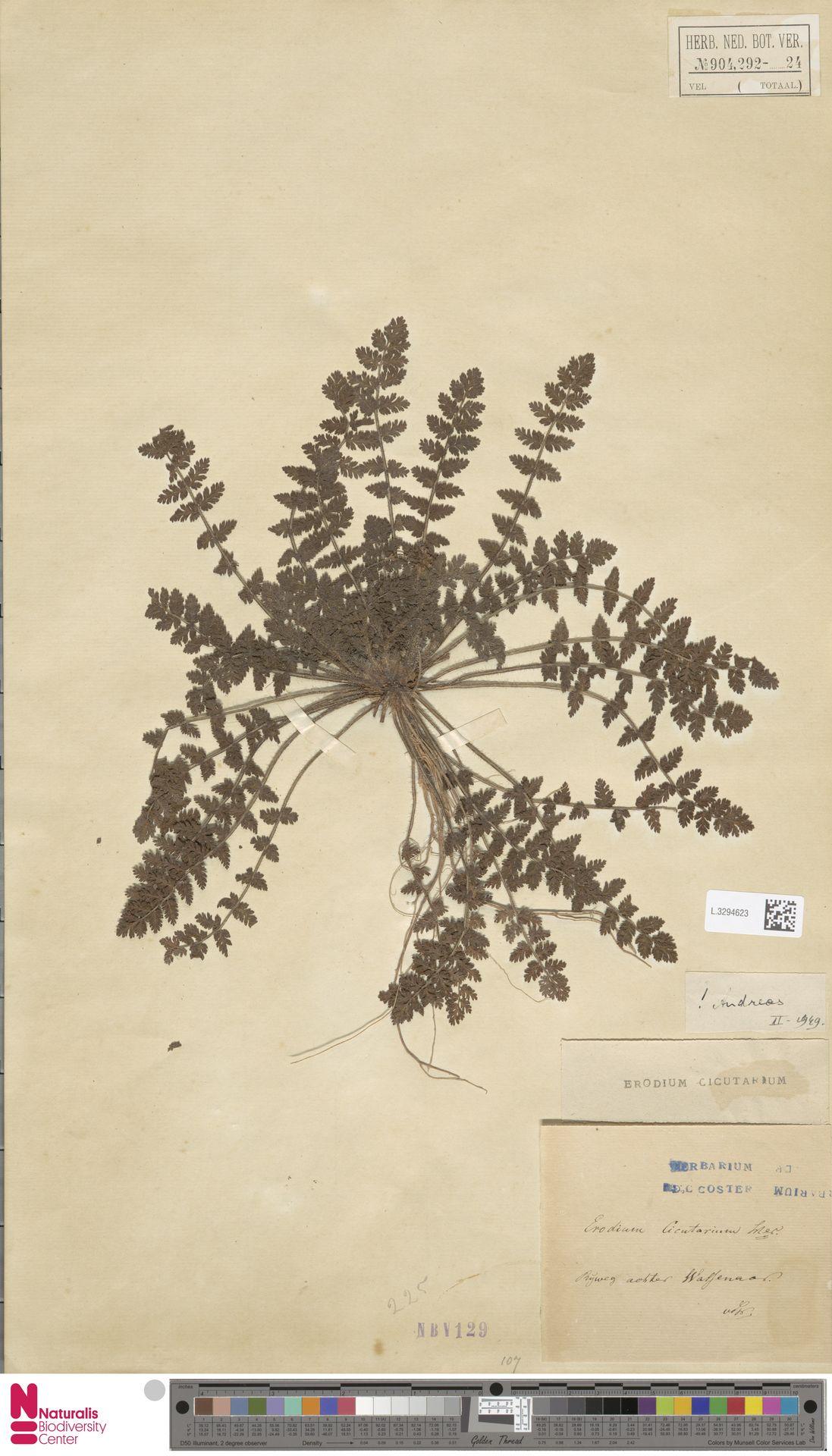 L.3294623   Erodium cicutarium (L.) L'Hér.