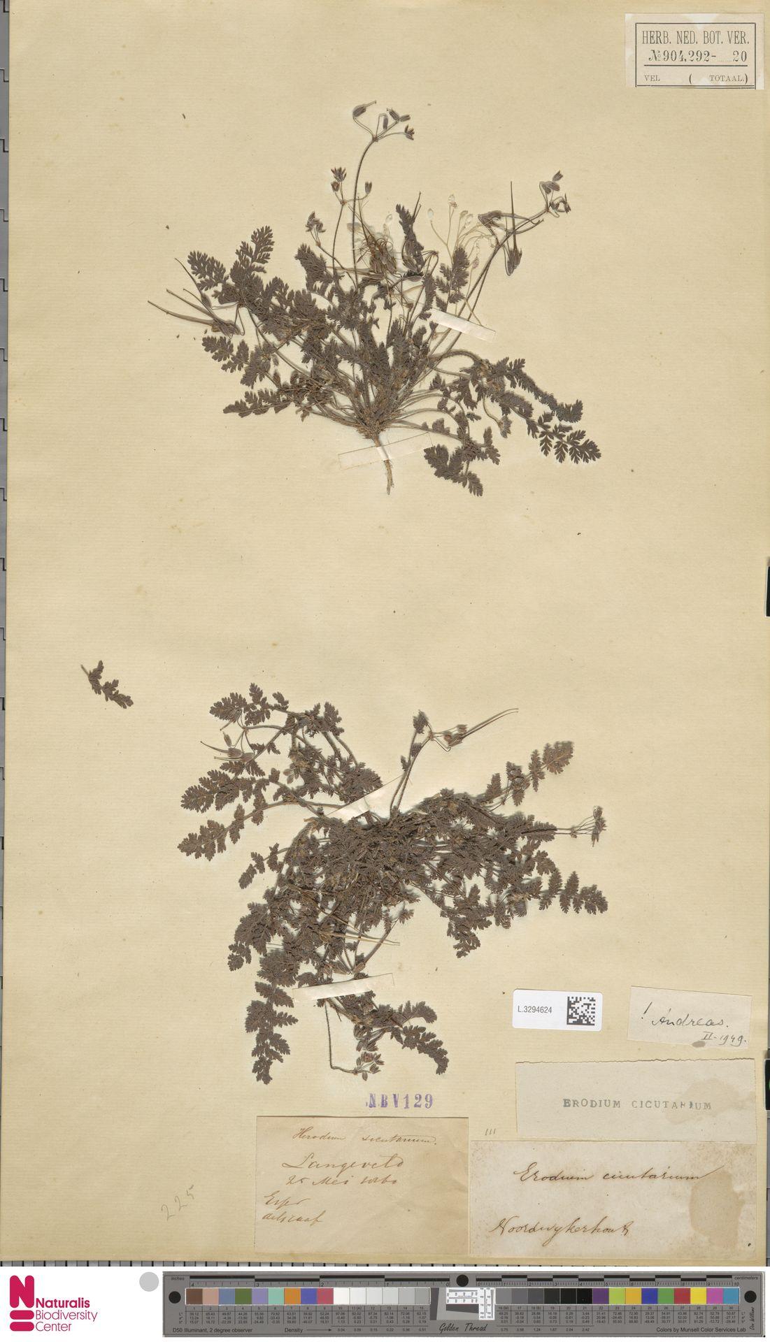 L.3294624 | Erodium cicutarium (L.) L'Hér.