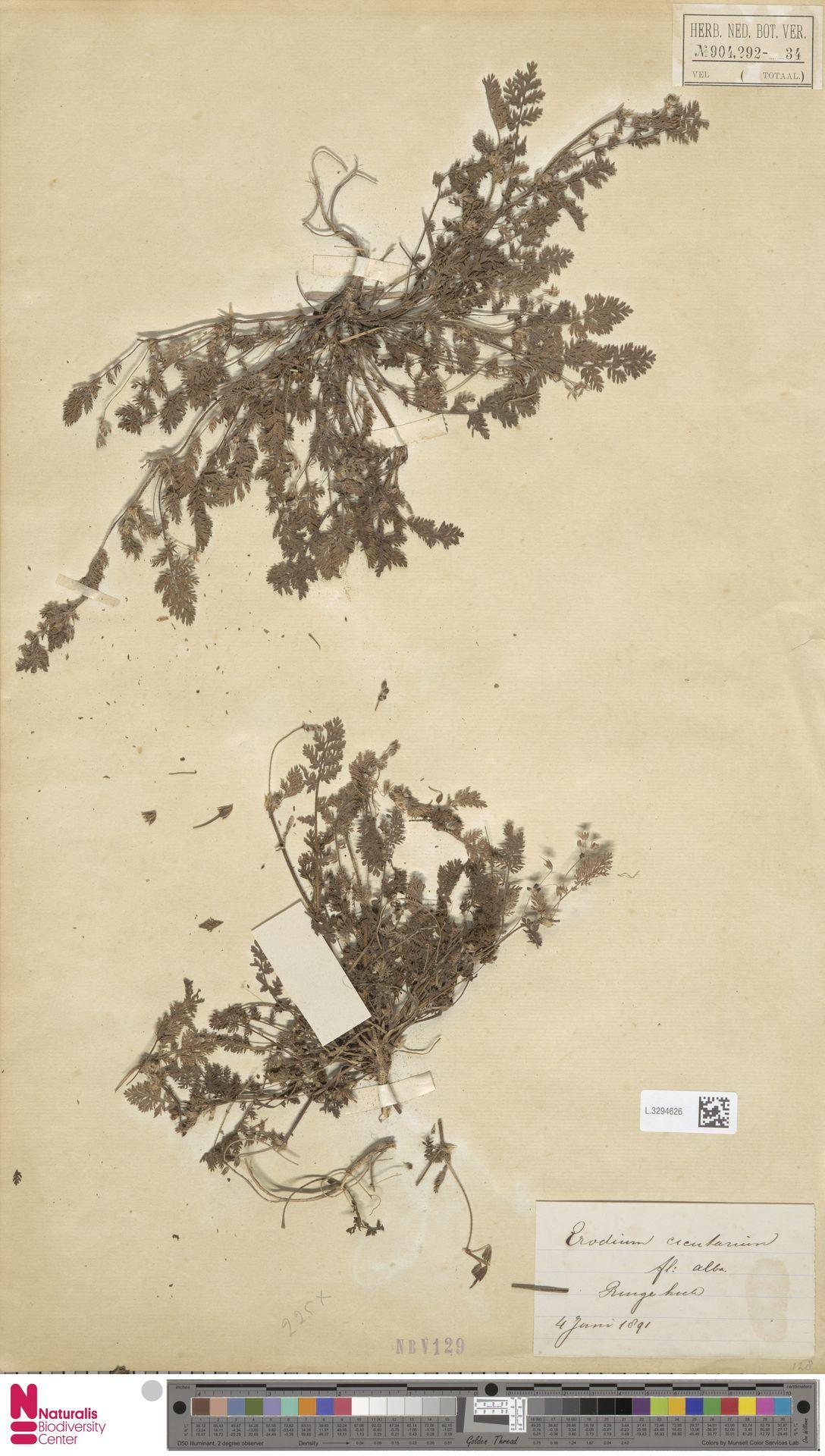 L.3294626 | Erodium cicutarium (L.) L'Hér.