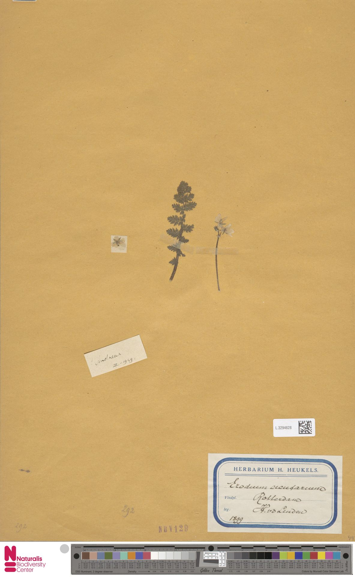 L.3294628   Erodium cicutarium (L.) L'Hér.