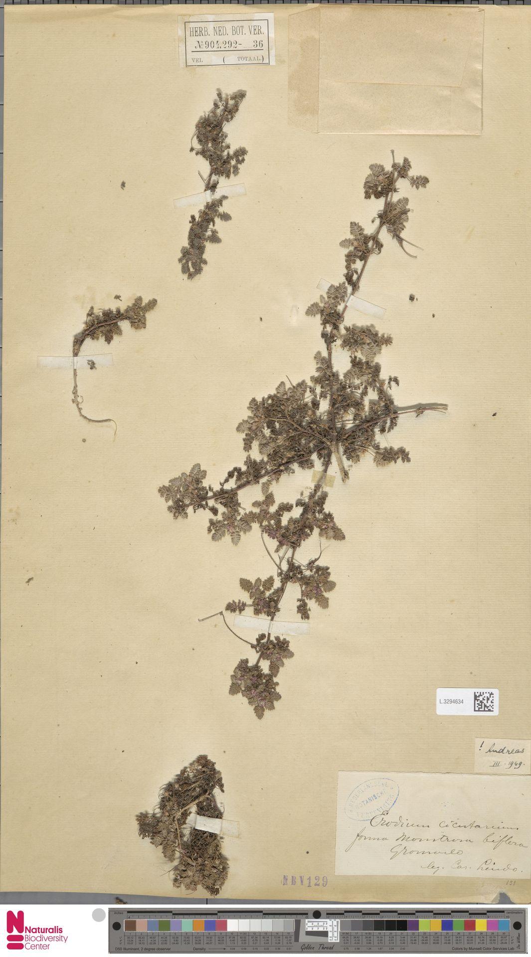 L.3294634 | Erodium cicutarium (L.) L'Hér.