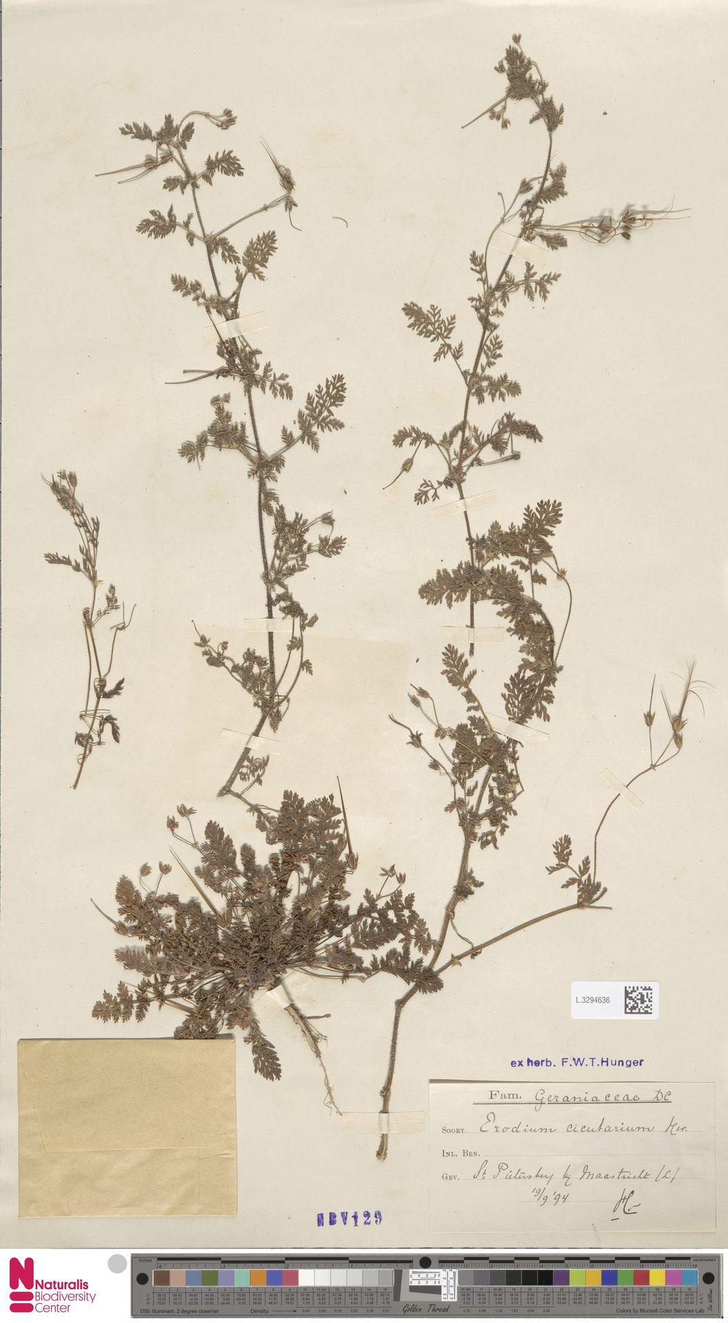 L.3294636   Erodium cicutarium (L.) L'Hér.