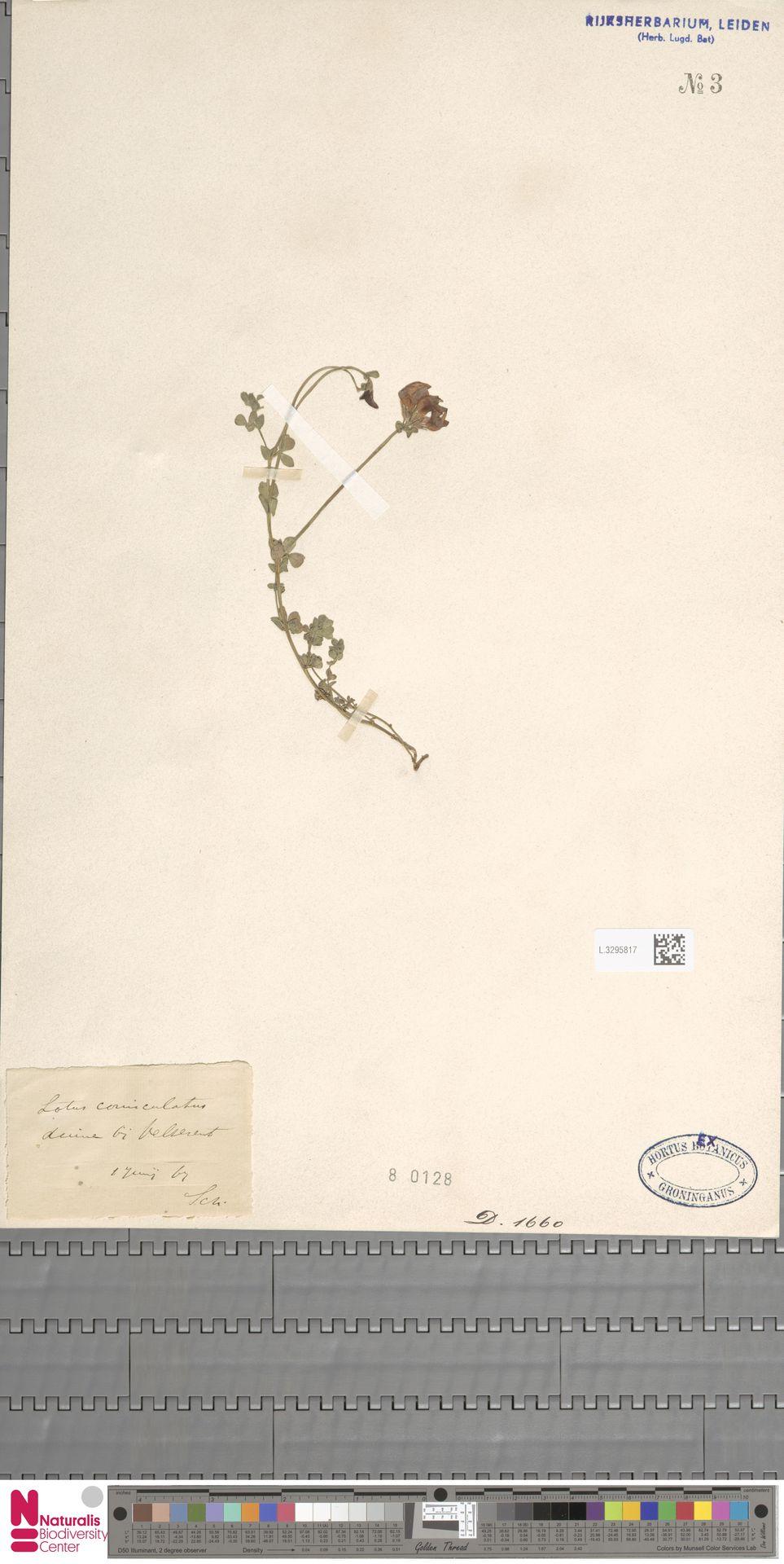 L.3295817 | Lotus corniculatus L.