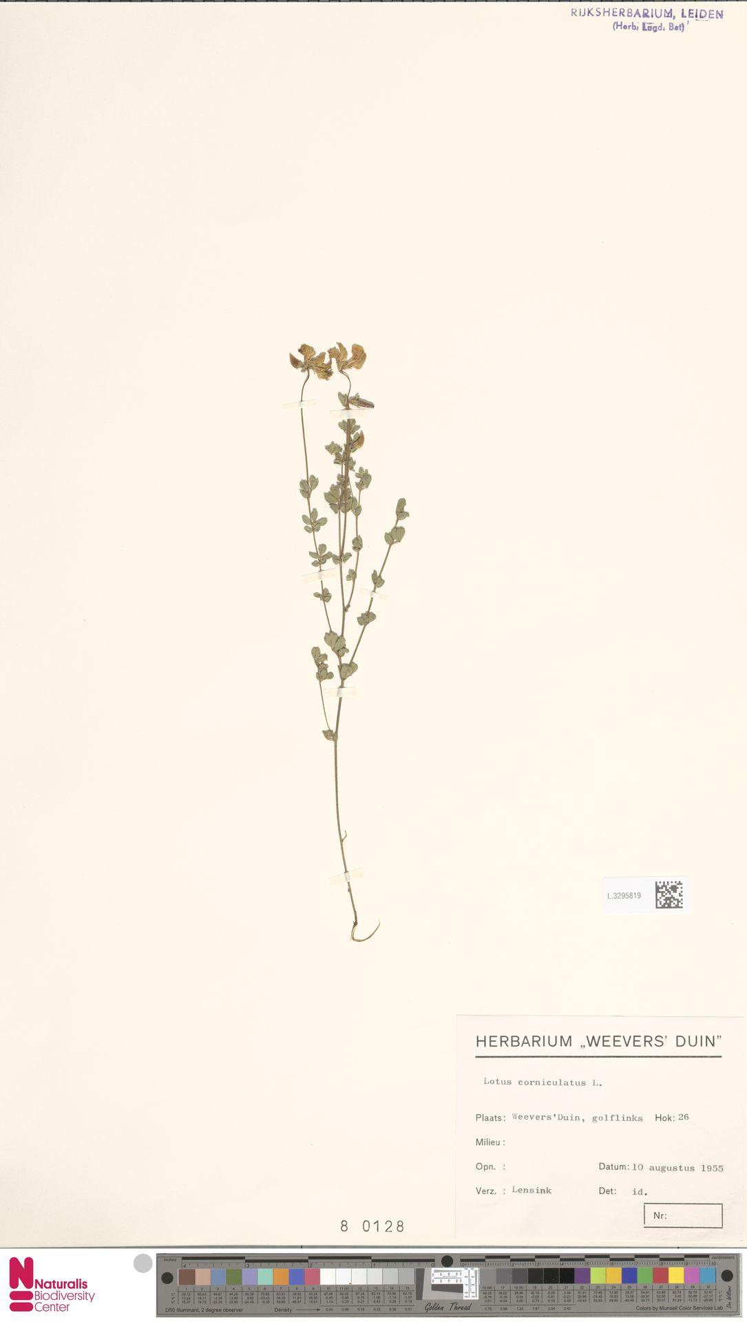 L.3295819 | Lotus corniculatus L.