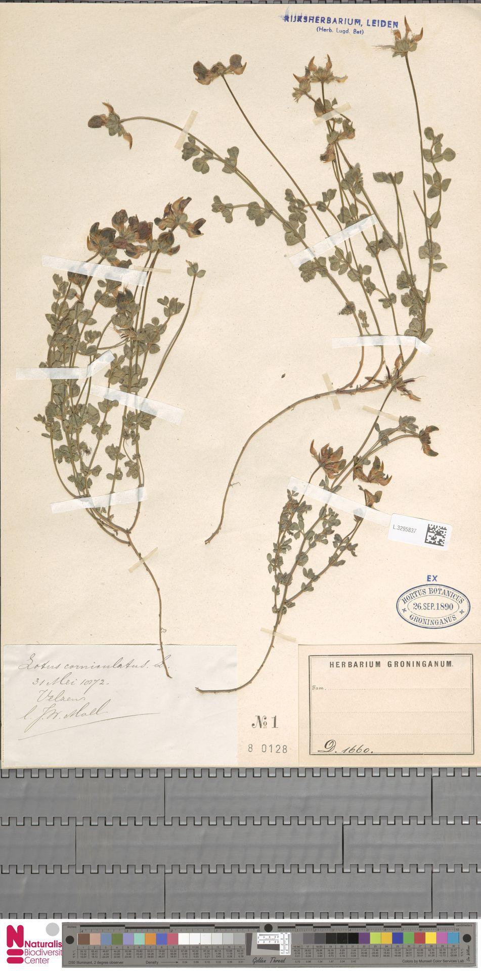 L.3295837 | Lotus corniculatus L.