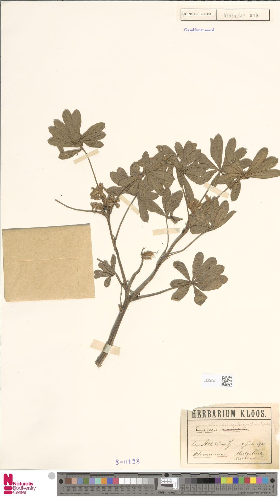 L.3295969 | Lupinus micranthus Guss.