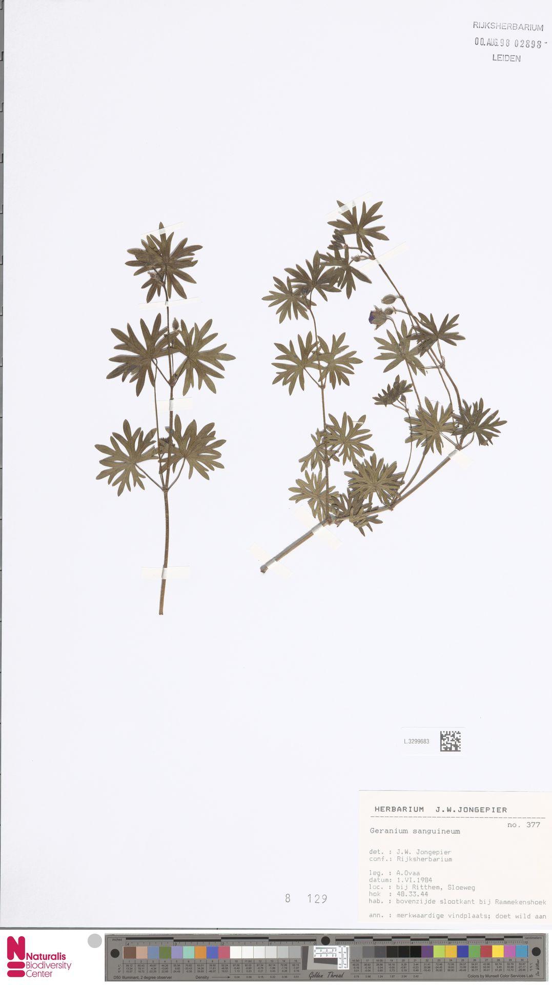 L.3299683   Geranium sanguineum L.