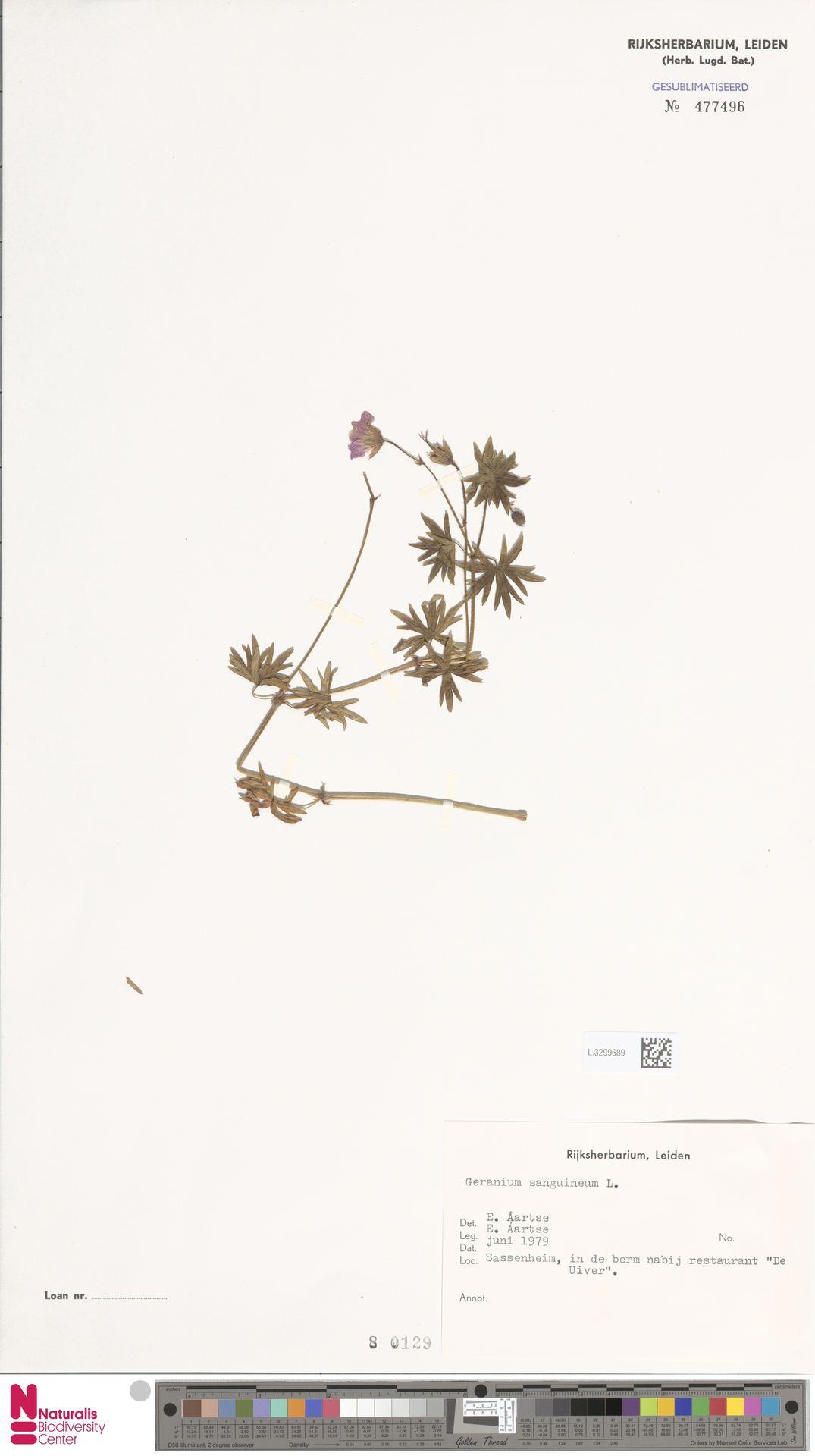 L.3299689 | Geranium sanguineum L.