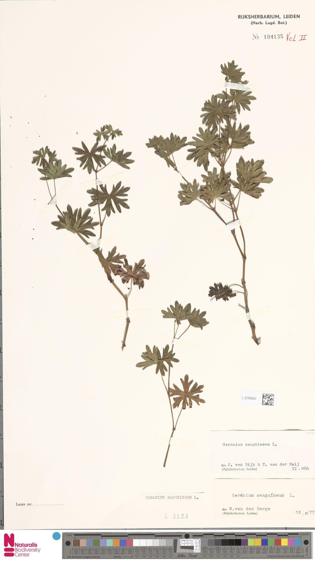 L.3299692 | Geranium sanguineum L.