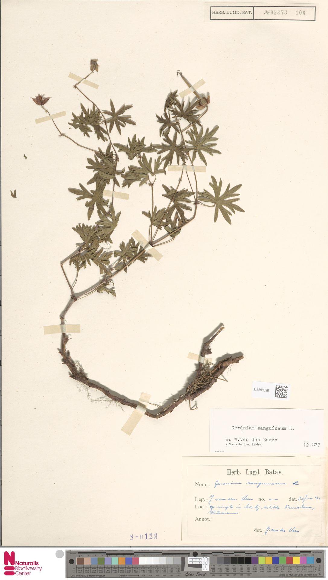 L.3299696   Geranium sanguineum L.
