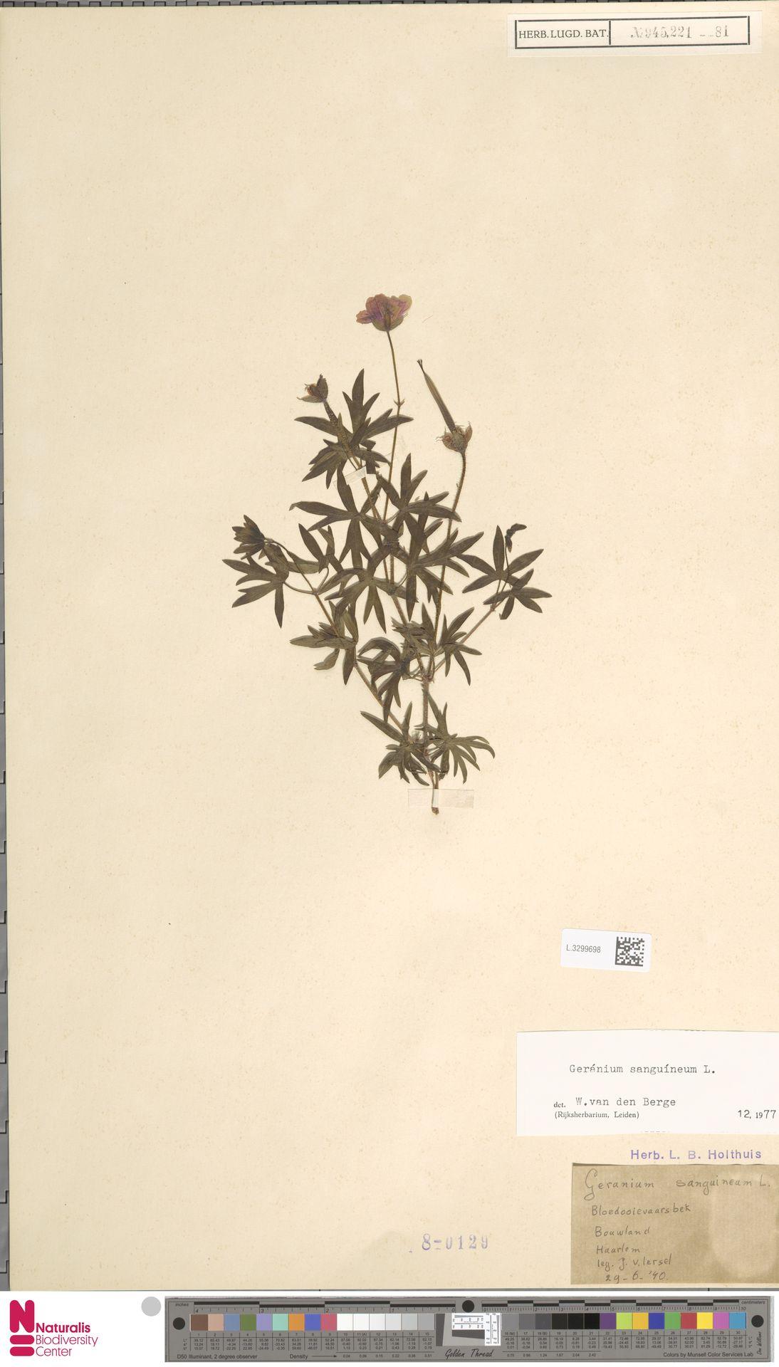 L.3299698   Geranium sanguineum L.
