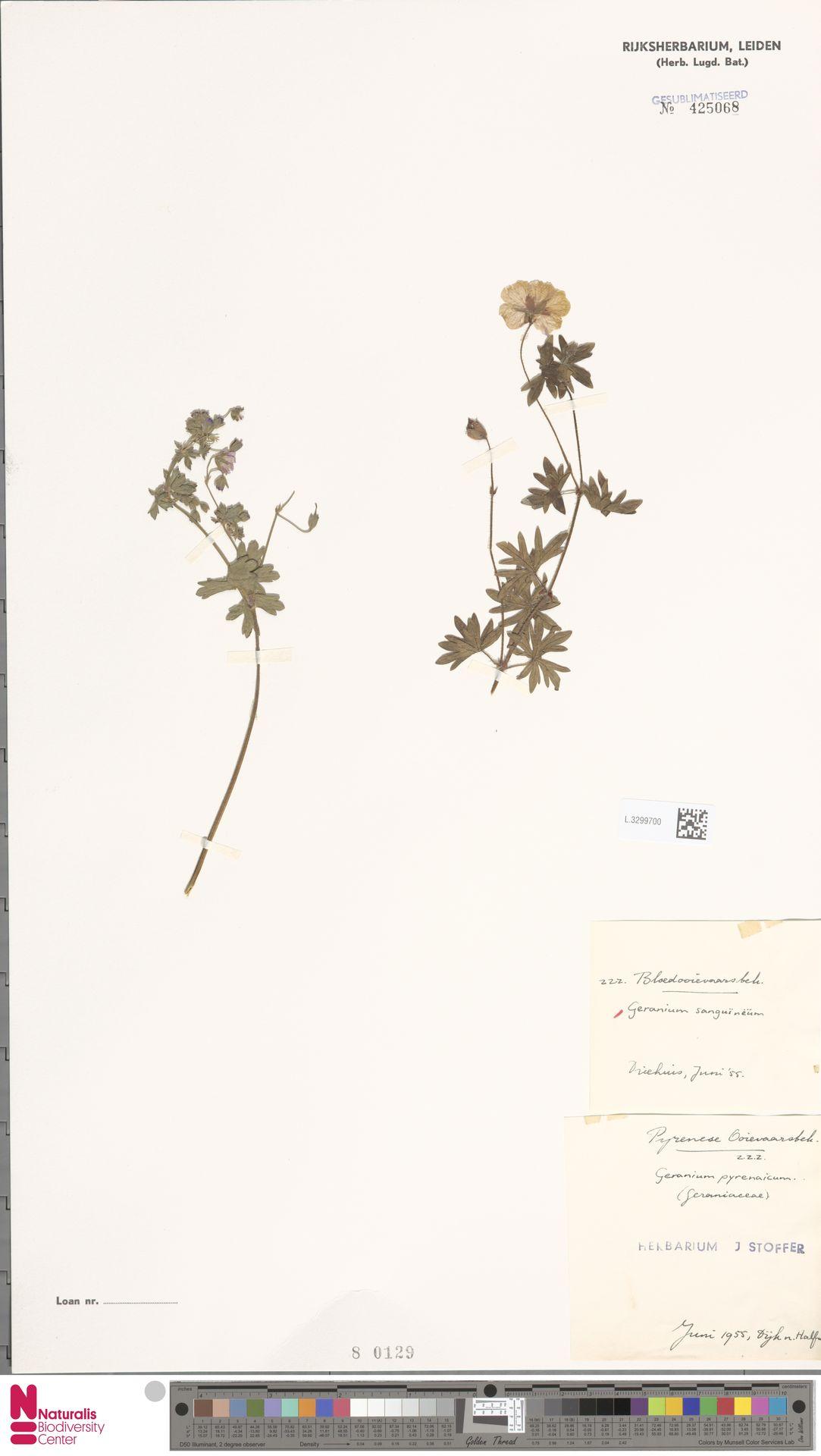 L.3299700 | Geranium sanguineum L.