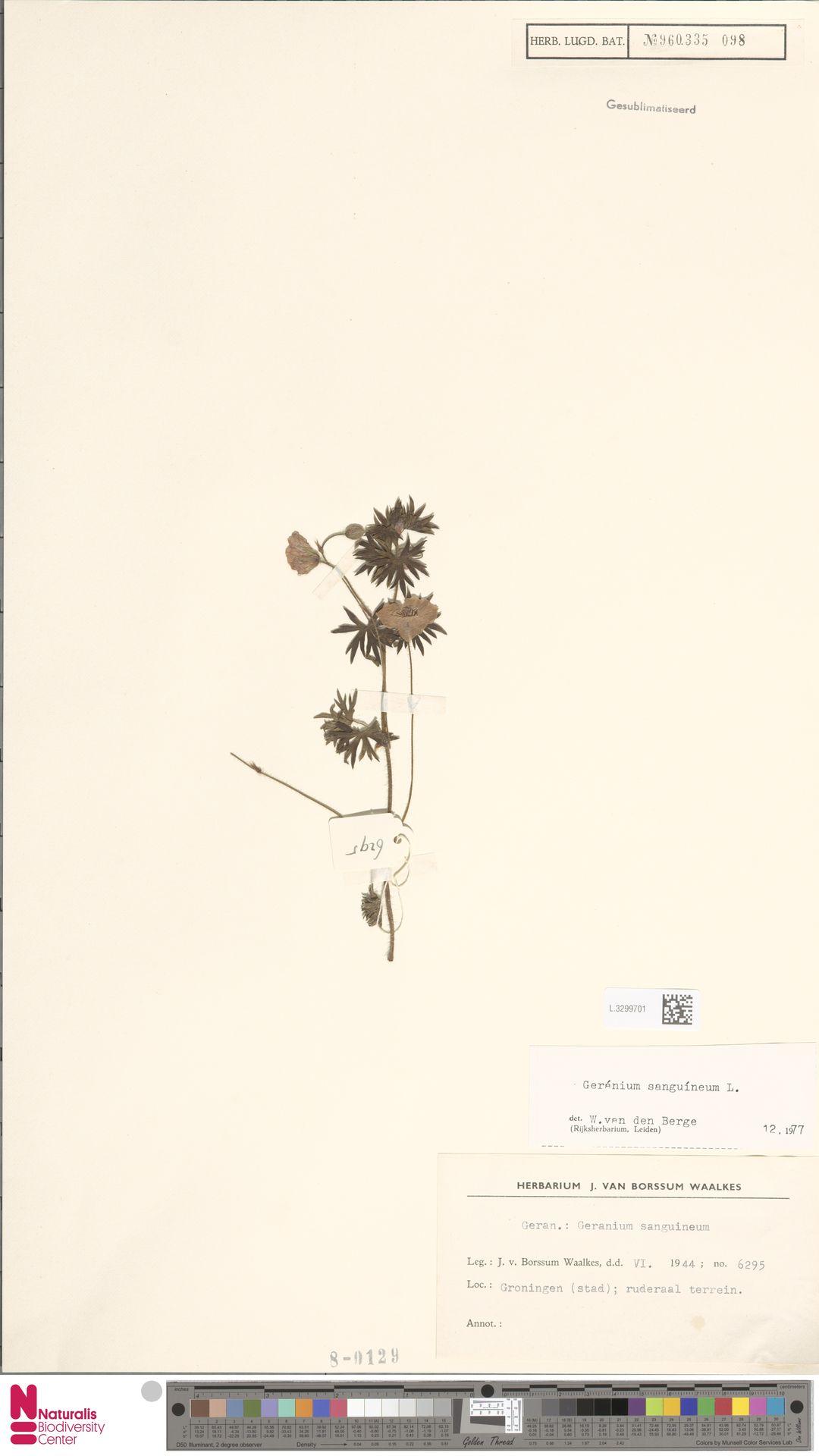 L.3299701   Geranium sanguineum L.