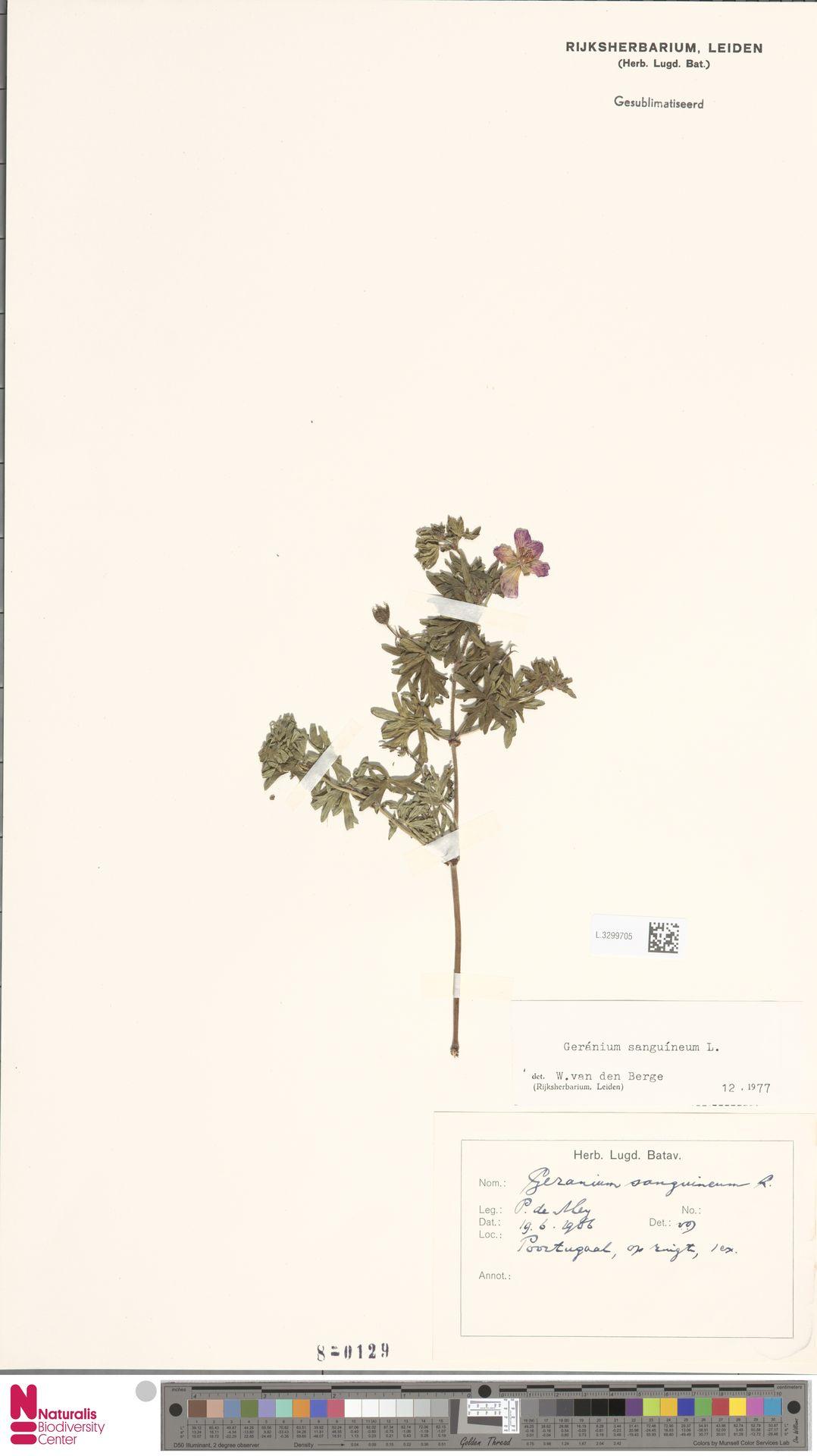 L.3299705 | Geranium sanguineum L.