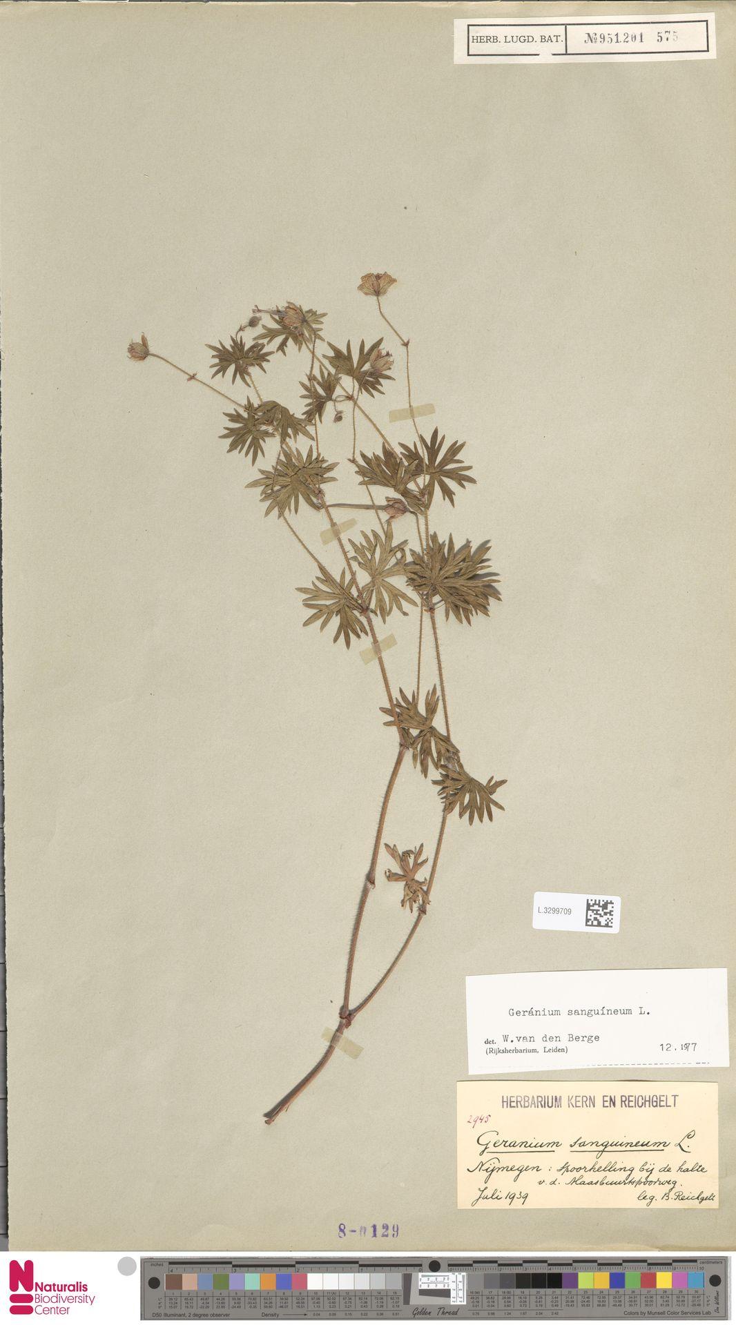 L.3299709 | Geranium sanguineum L.
