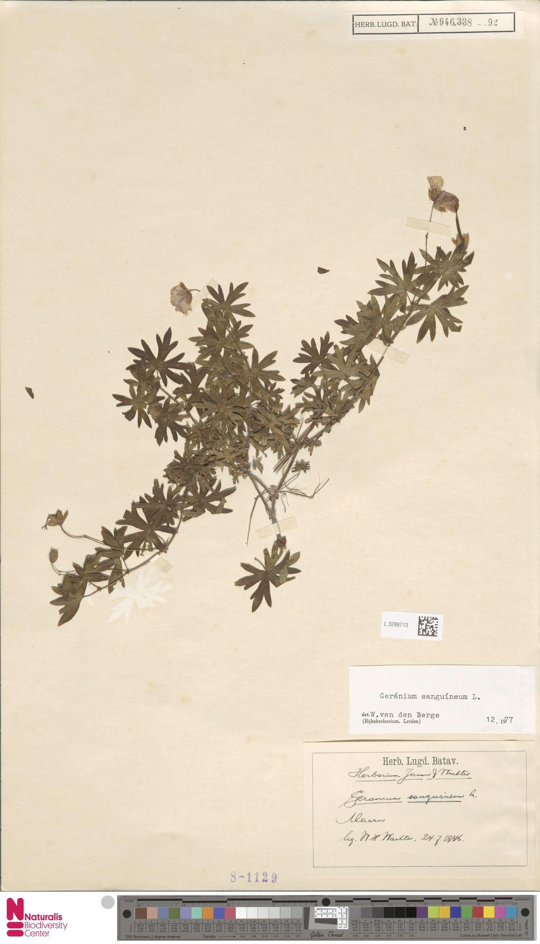 L.3299713 | Geranium sanguineum L.