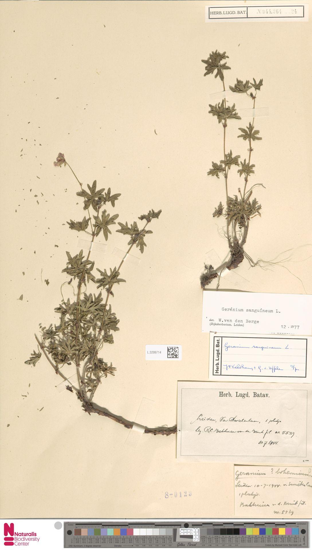 L.3299714 | Geranium sanguineum L.