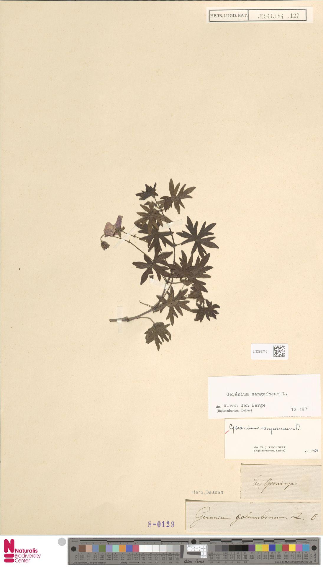 L.3299716 | Geranium sanguineum L.