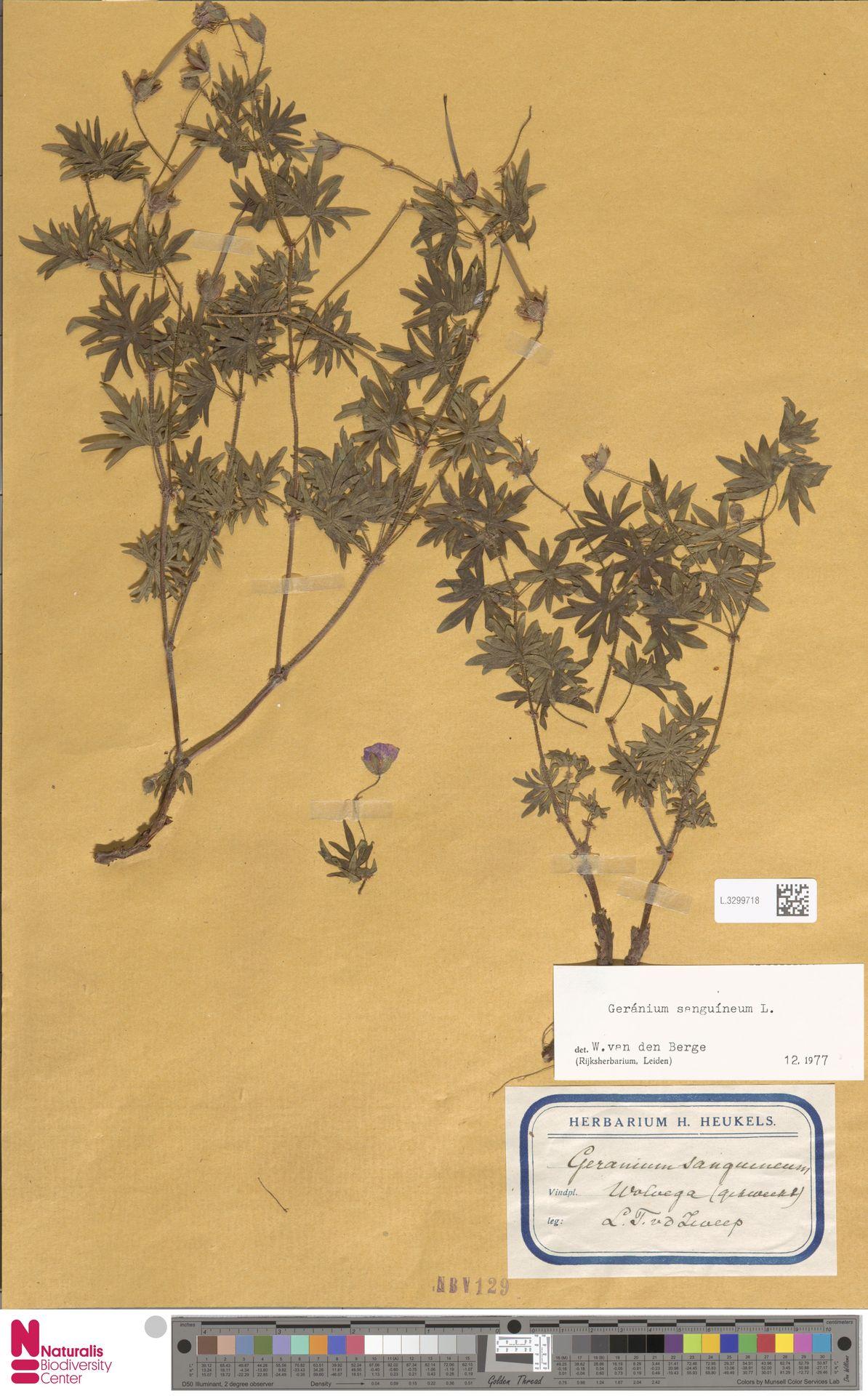 L.3299718 | Geranium sanguineum L.