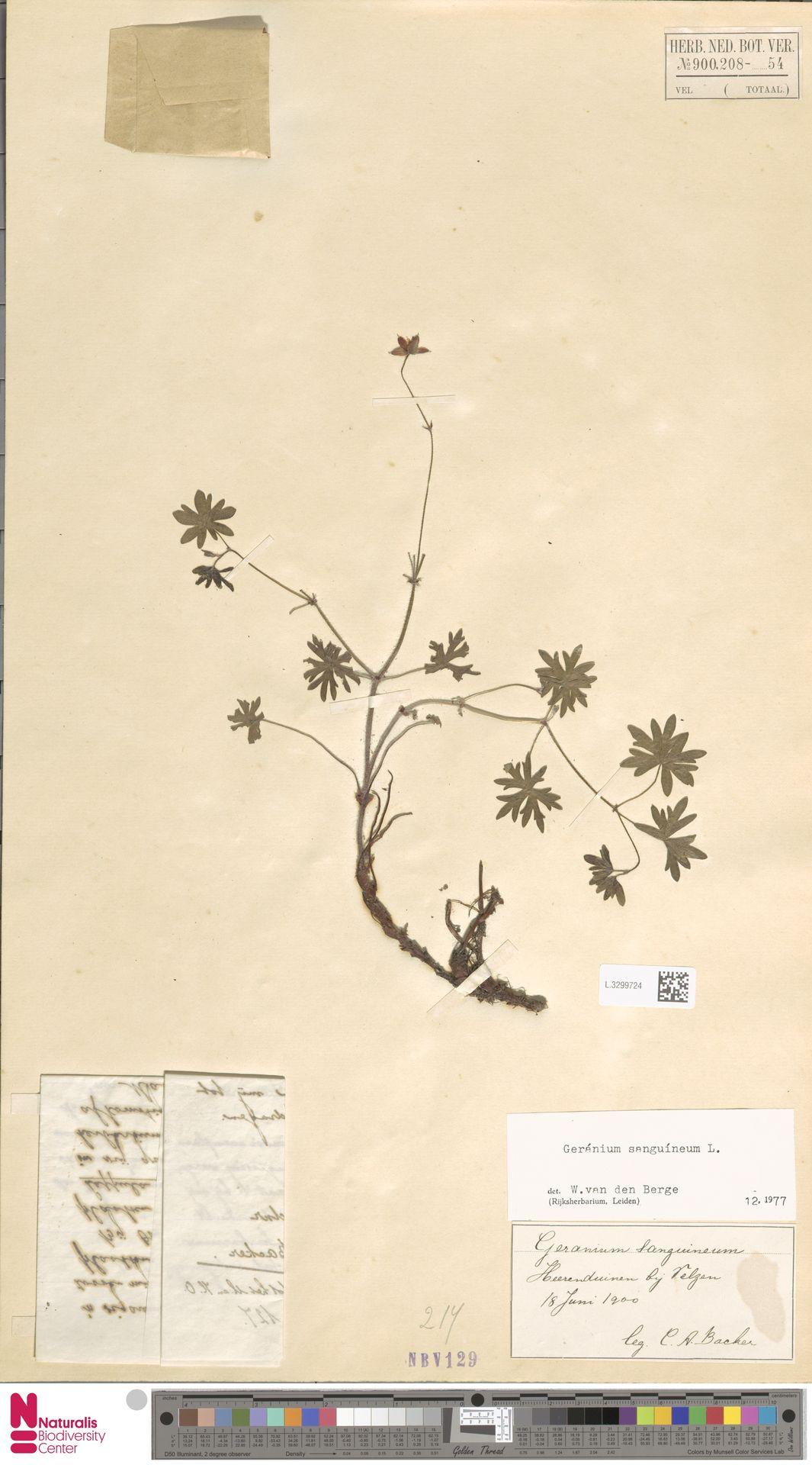 L.3299724   Geranium sanguineum L.