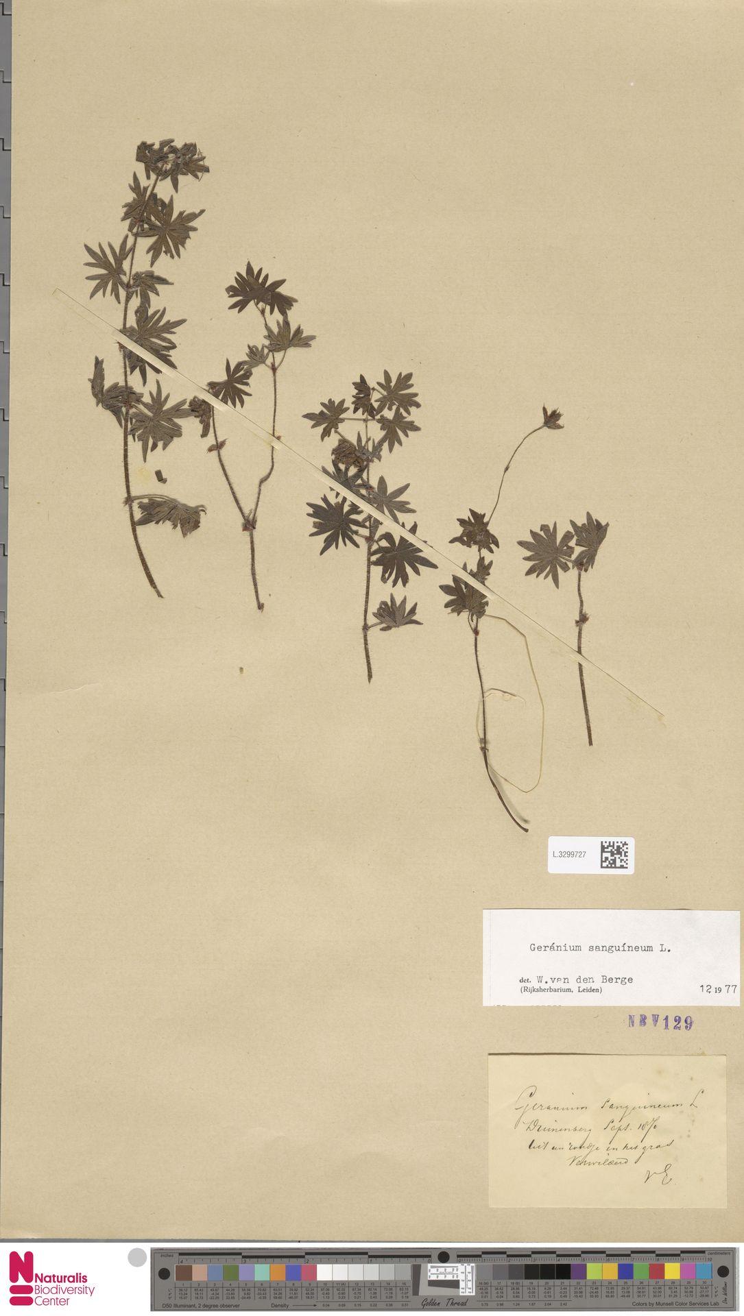 L.3299727 | Geranium sanguineum L.