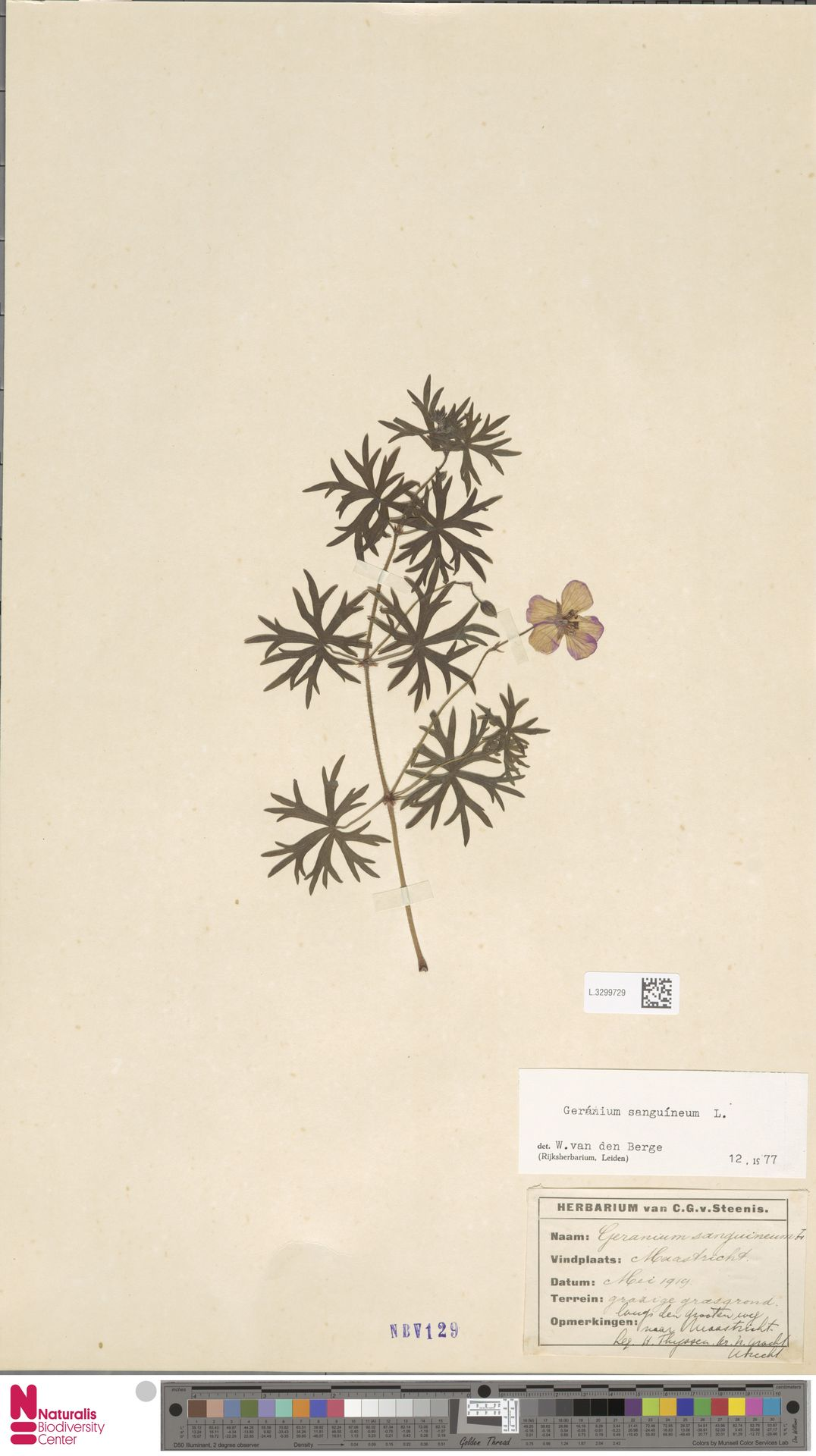 L.3299729 | Geranium sanguineum L.