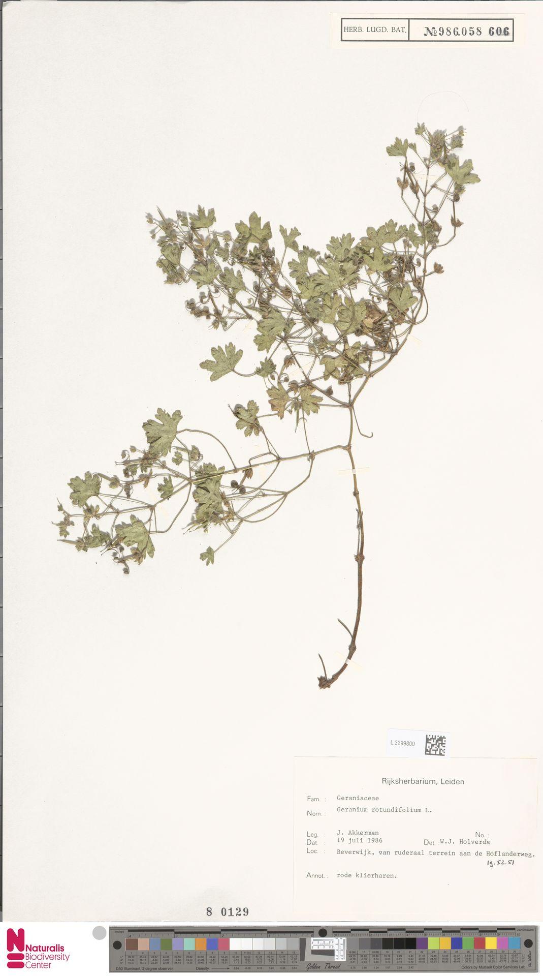 L.3299800 | Geranium rotundifolium L.