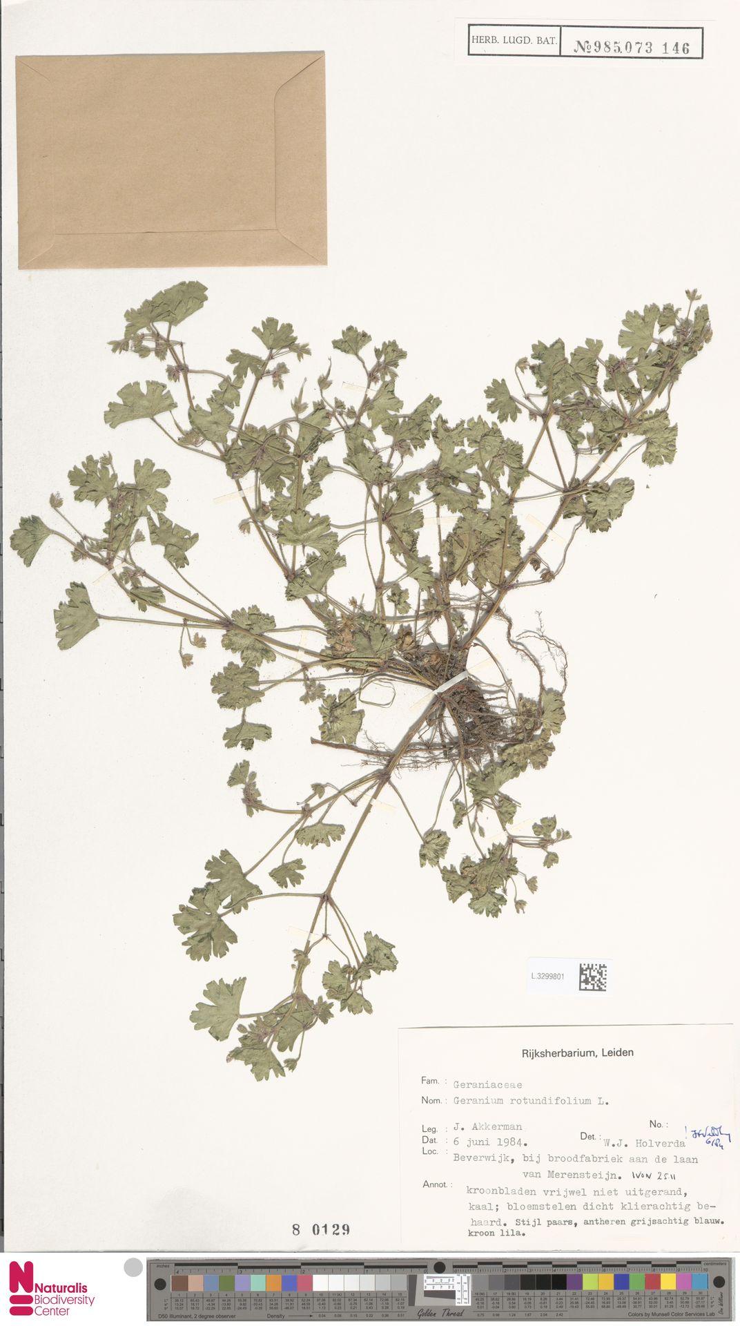 L.3299801 | Geranium rotundifolium L.