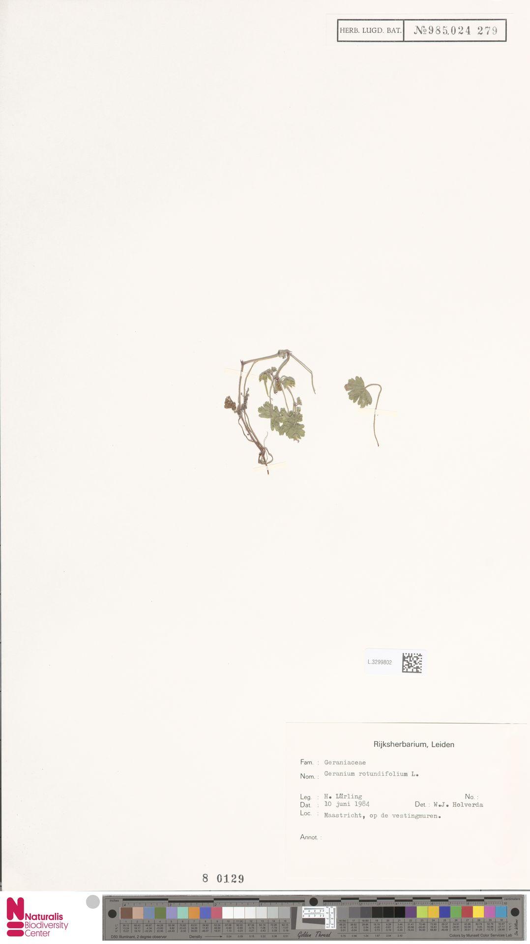 L.3299802 | Geranium rotundifolium L.