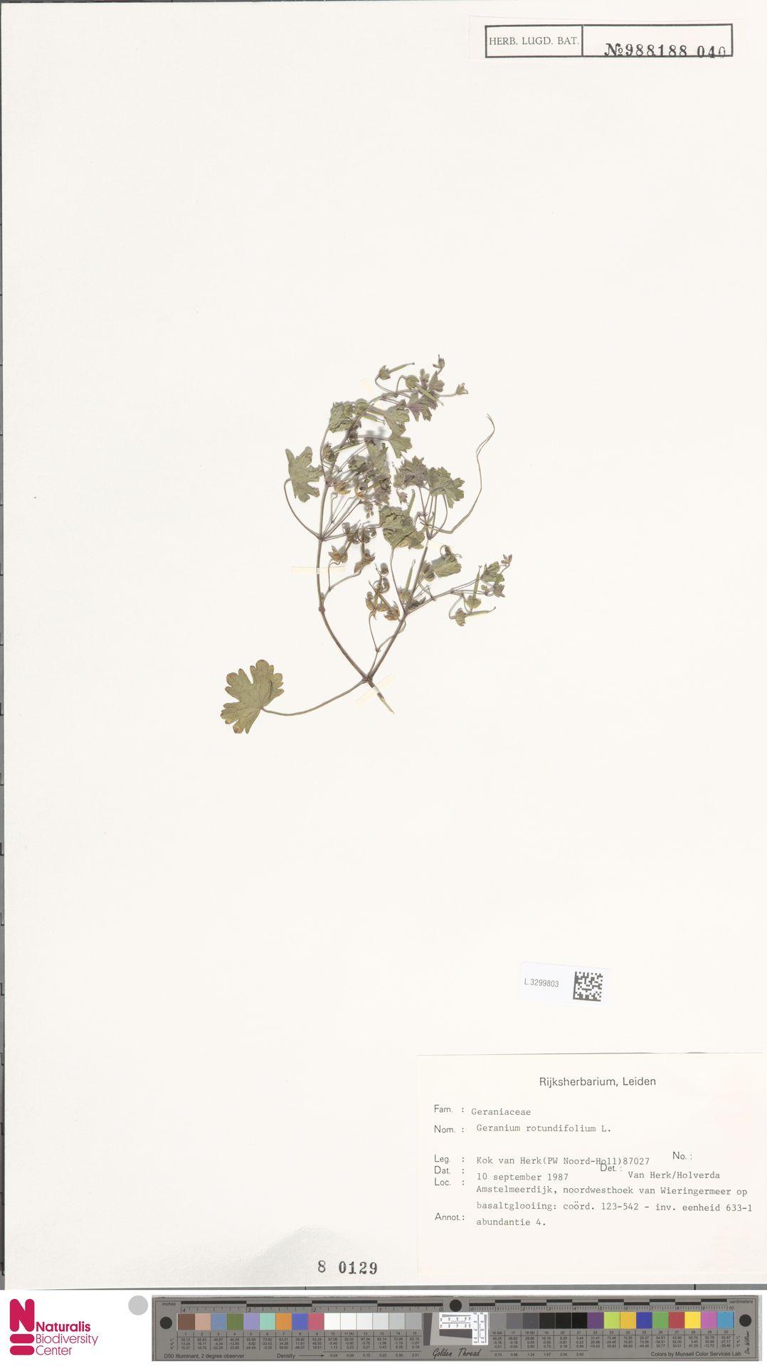 L.3299803 | Geranium rotundifolium L.