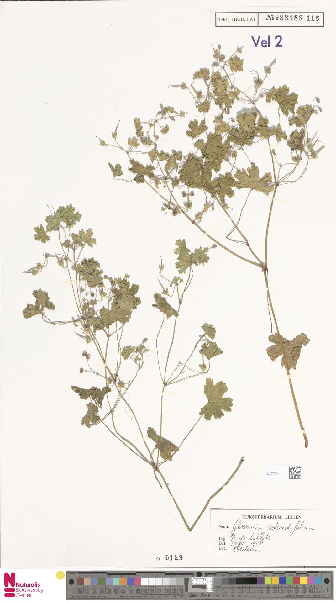 L.3299805 | Geranium rotundifolium L.