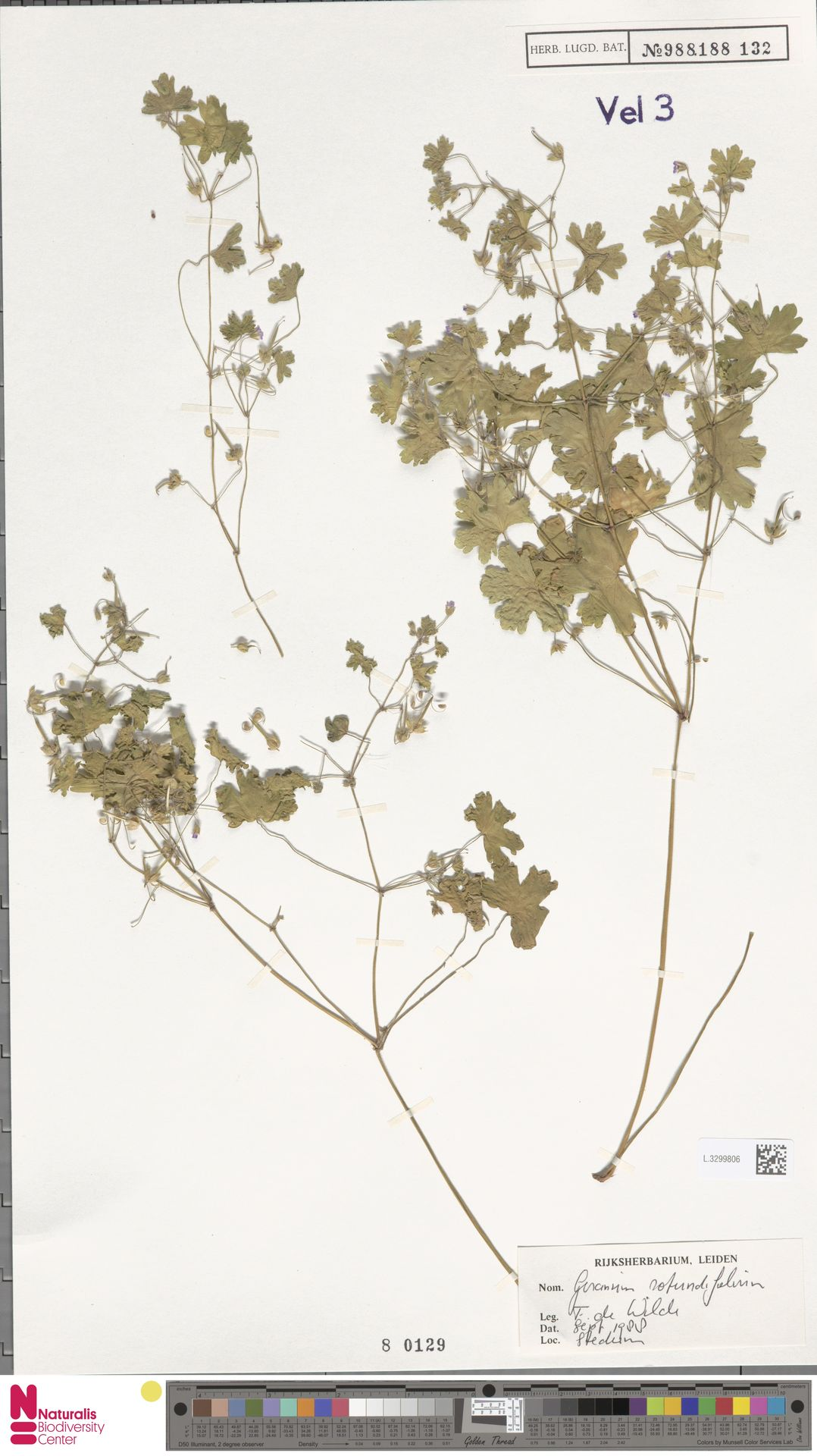 L.3299806 | Geranium rotundifolium L.