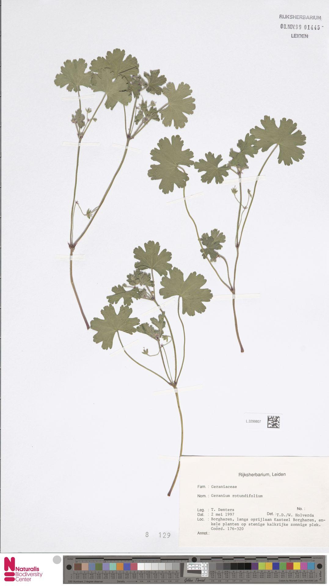 L.3299807 | Geranium rotundifolium L.
