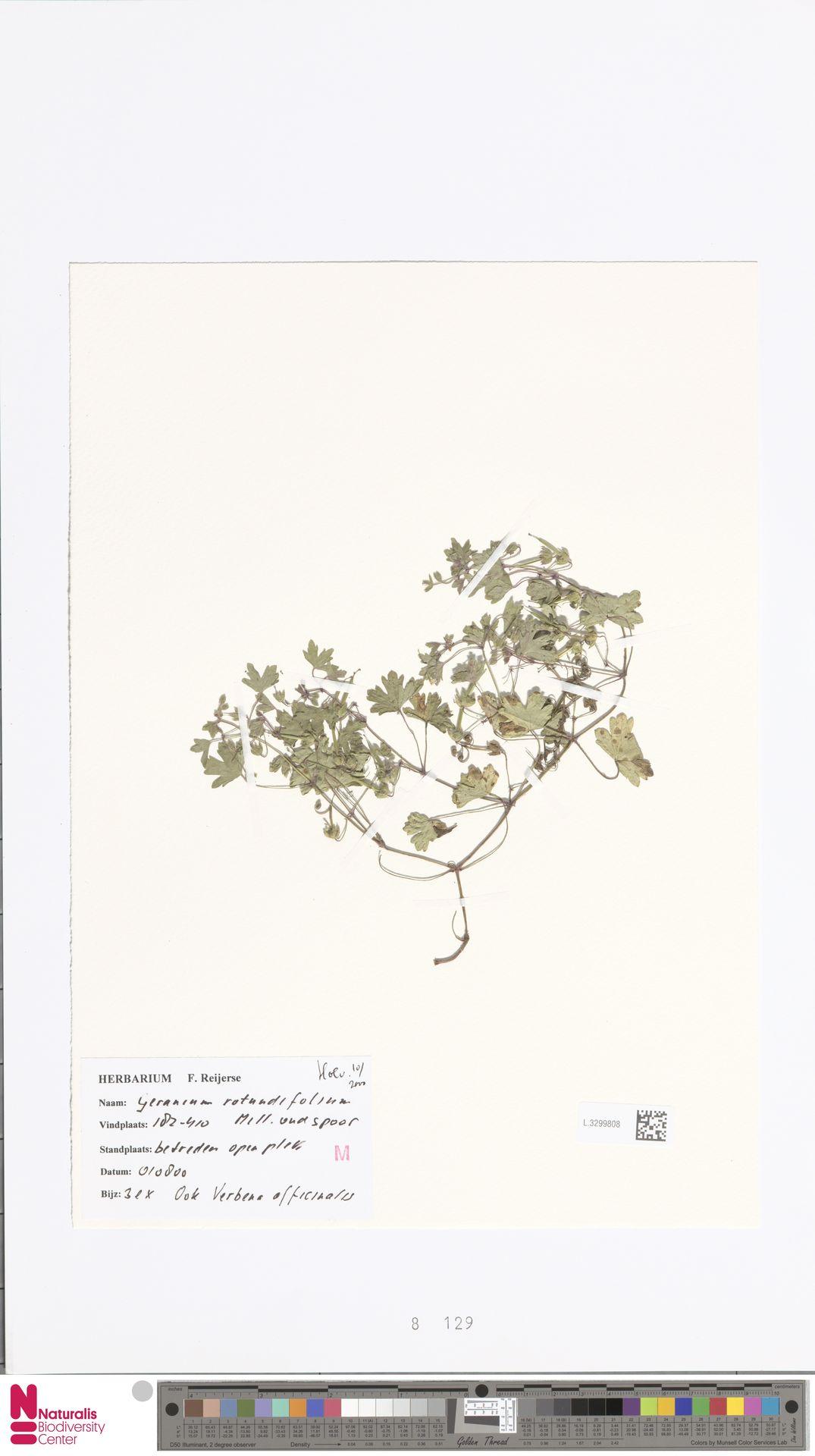 L.3299808 | Geranium rotundifolium L.