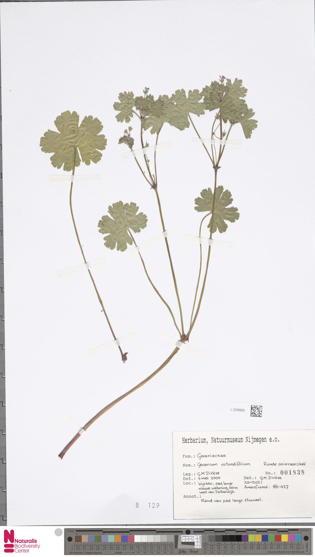 L.3299809   Geranium rotundifolium L.