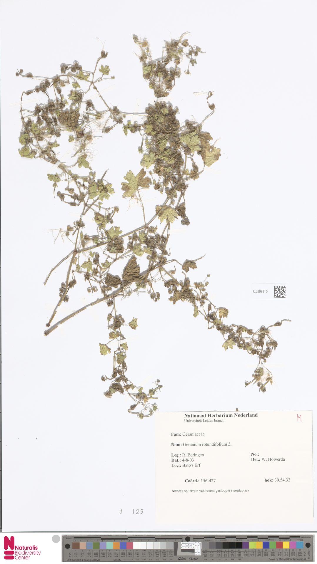 L.3299810   Geranium rotundifolium L.