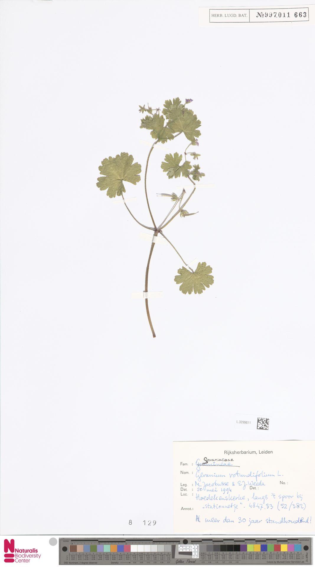 L.3299811   Geranium rotundifolium L.