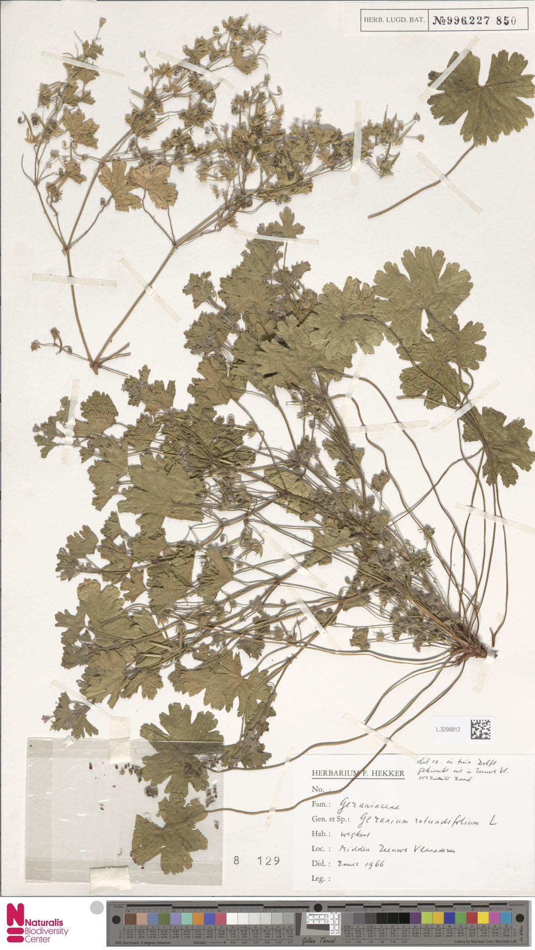 L.3299812 | Geranium rotundifolium L.