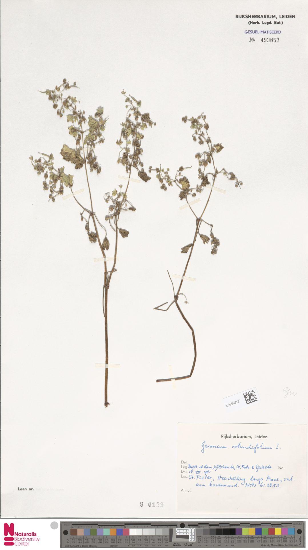 L.3299813 | Geranium rotundifolium L.