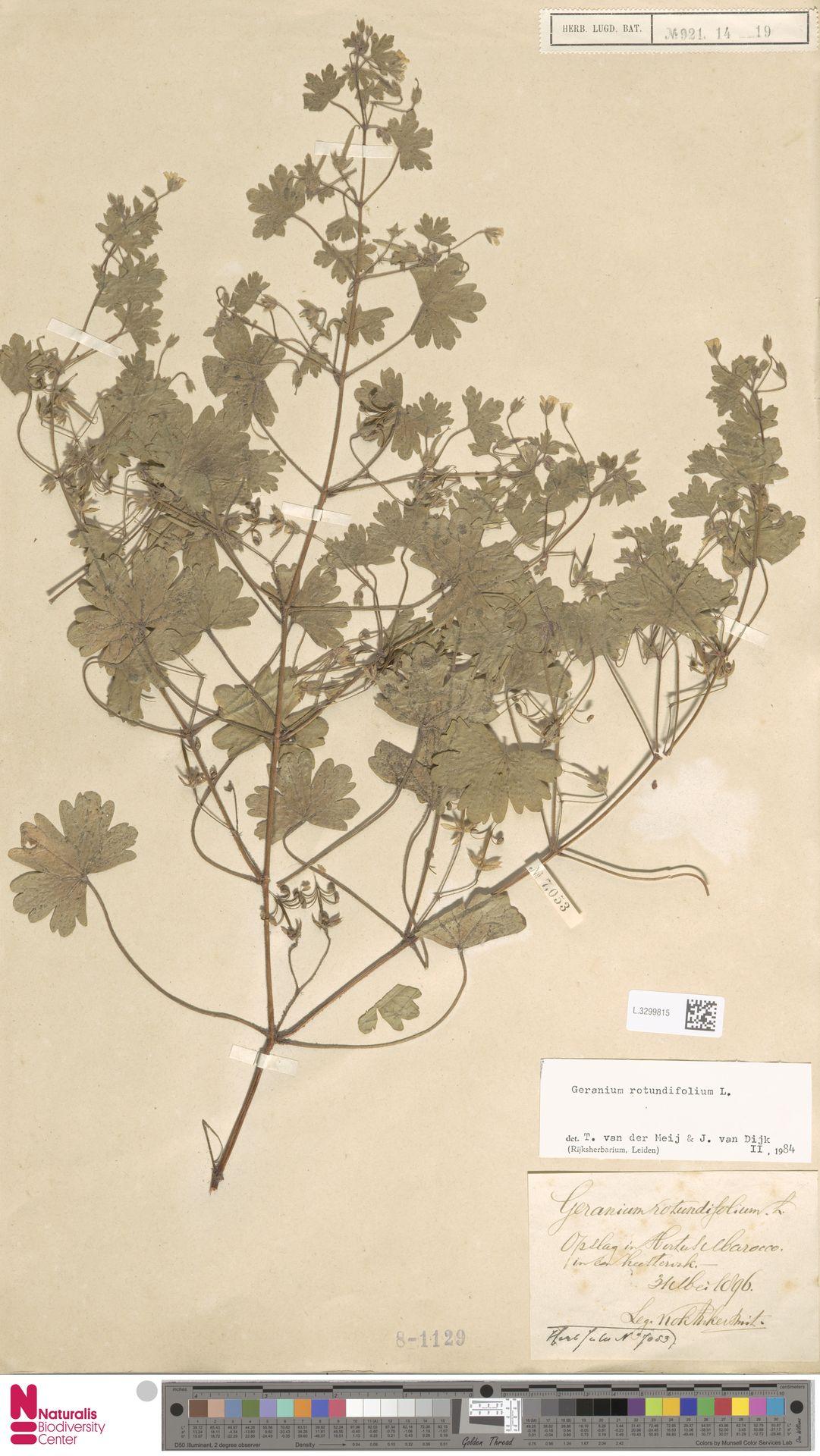 L.3299815   Geranium rotundifolium L.