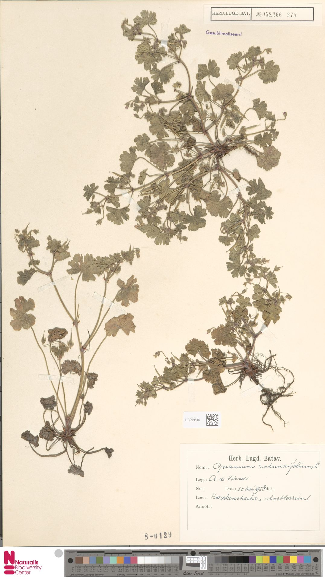 L.3299816 | Geranium rotundifolium L.
