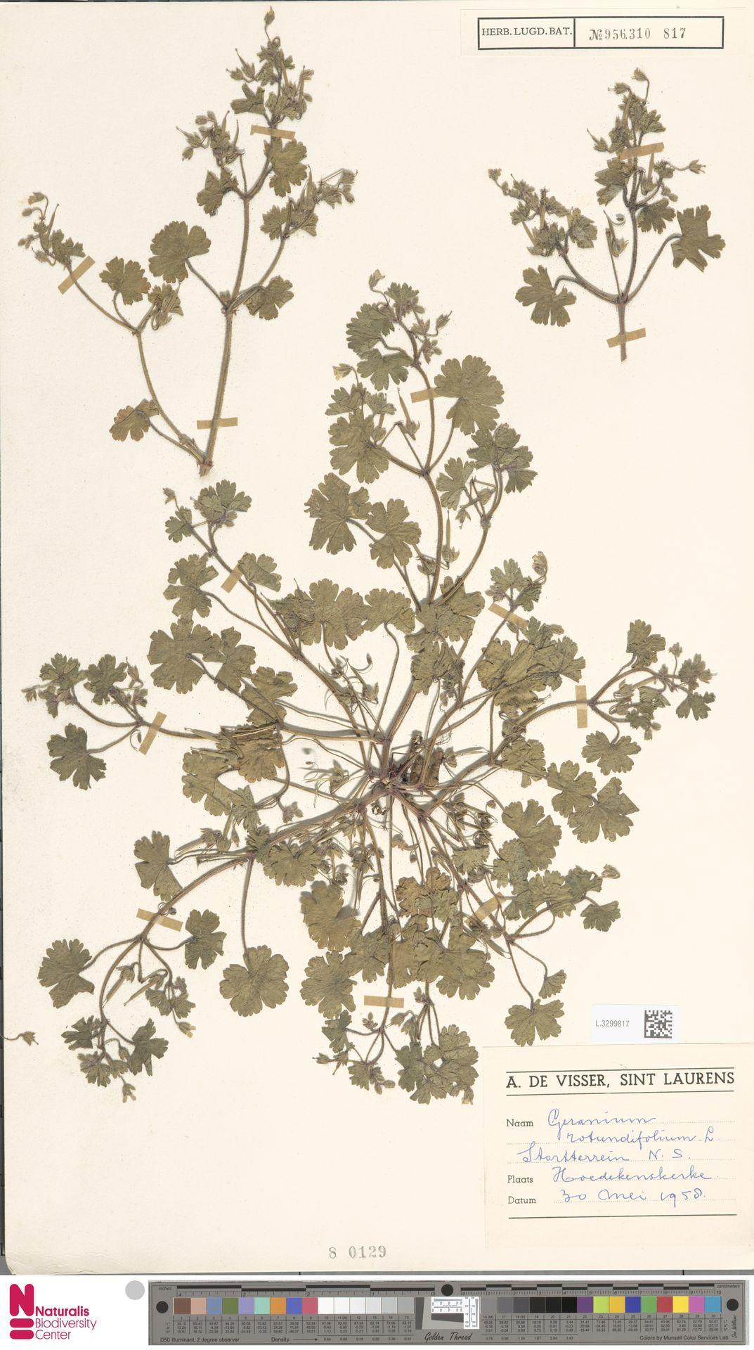 L.3299817 | Geranium rotundifolium L.