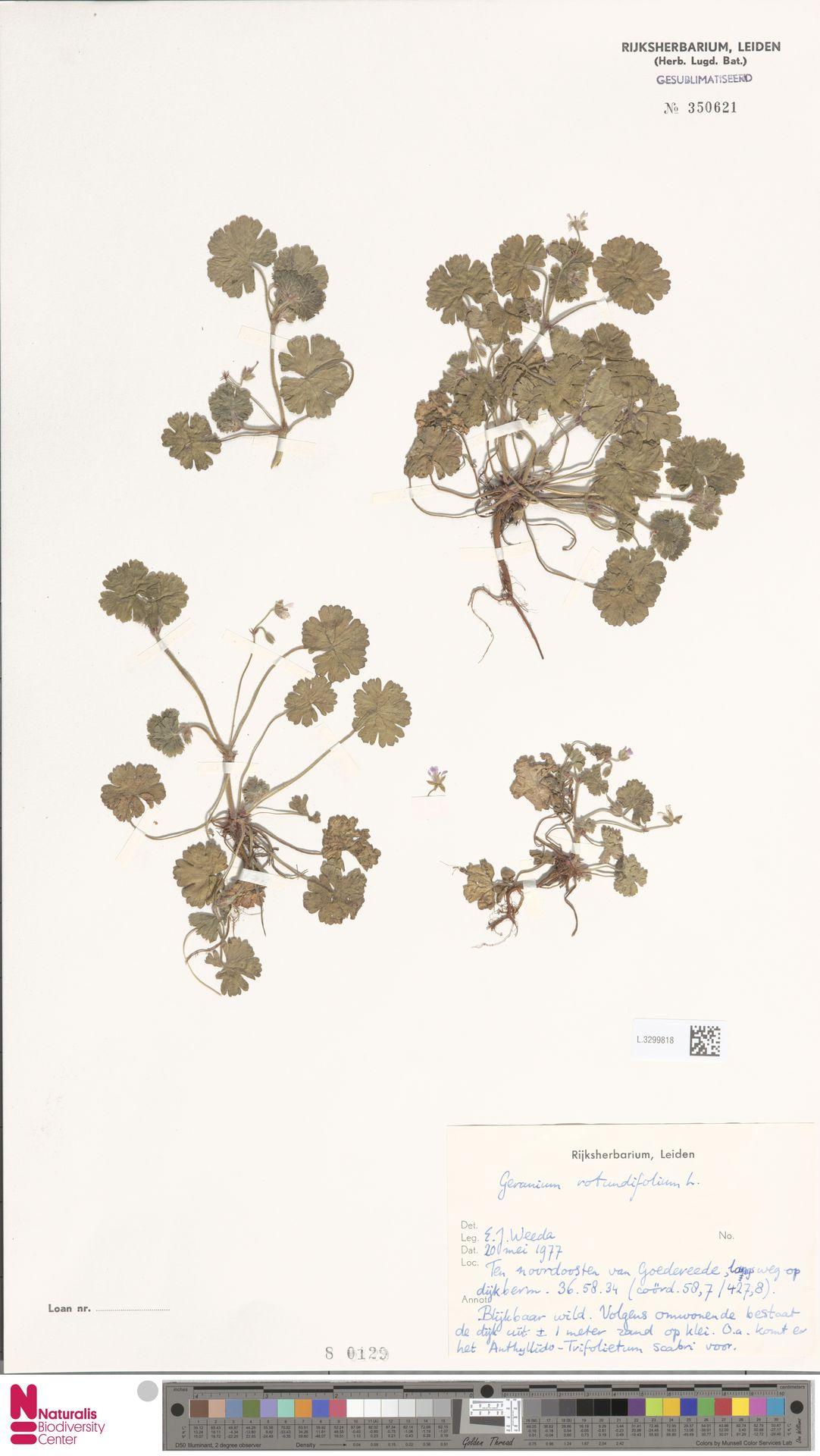L.3299818 | Geranium rotundifolium L.