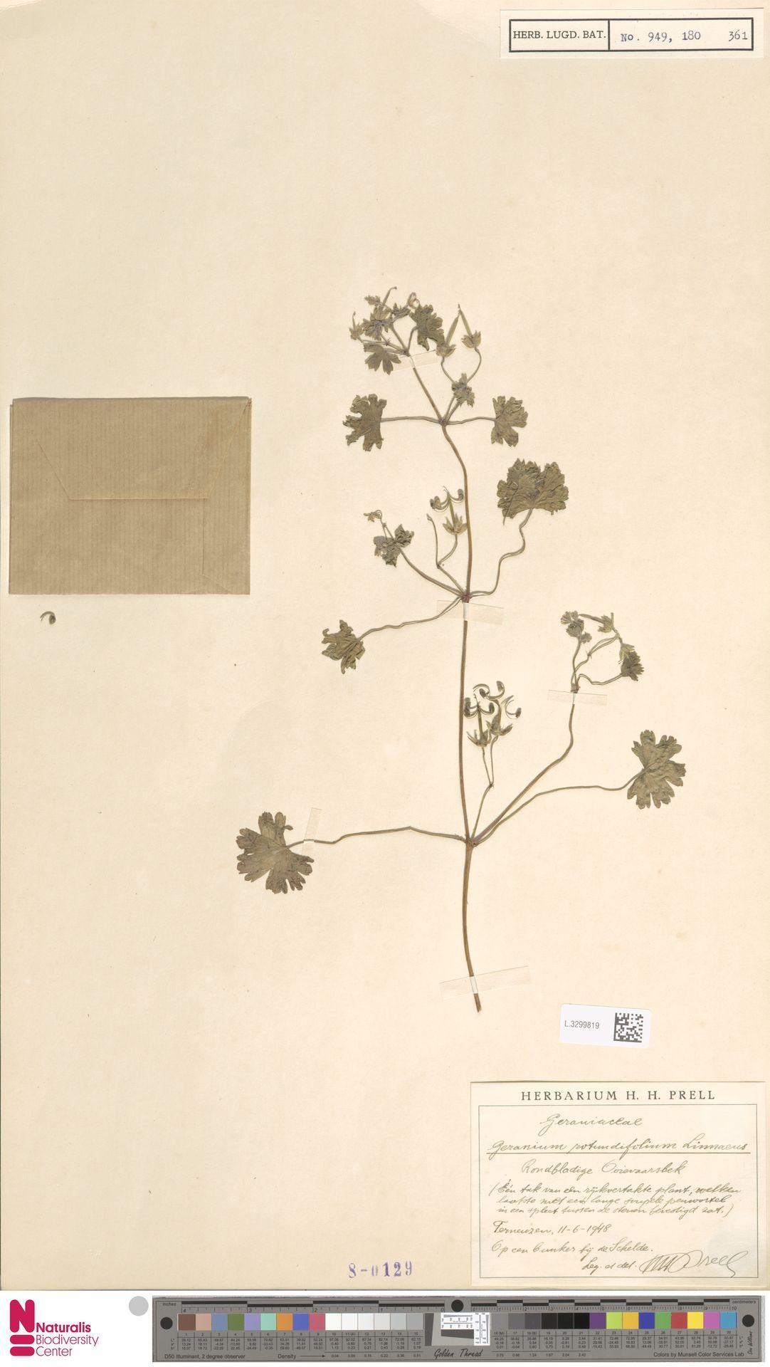 L.3299819 | Geranium rotundifolium L.
