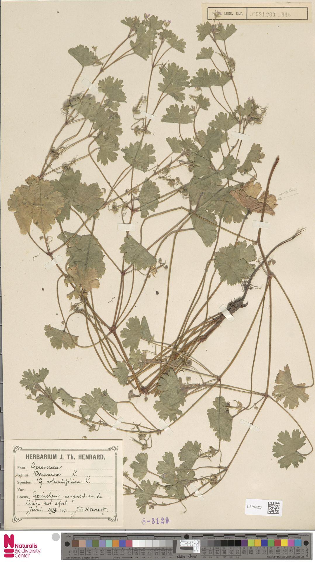 L.3299820 | Geranium rotundifolium L.