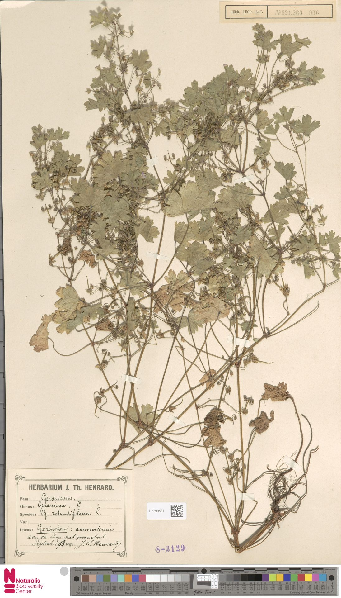 L.3299821 | Geranium rotundifolium L.